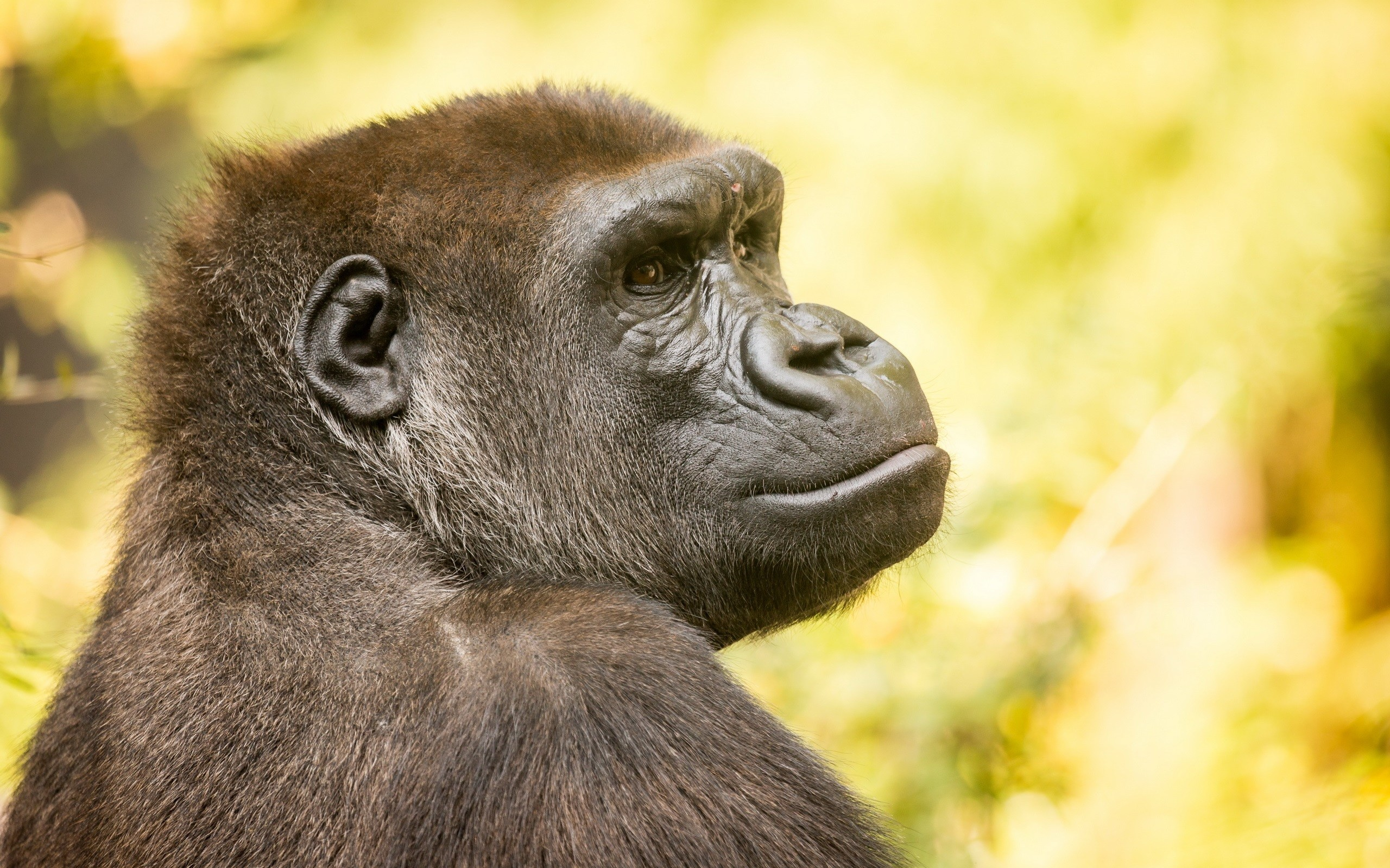 best gorilla wallpapers, gorilla gorilla gorilla