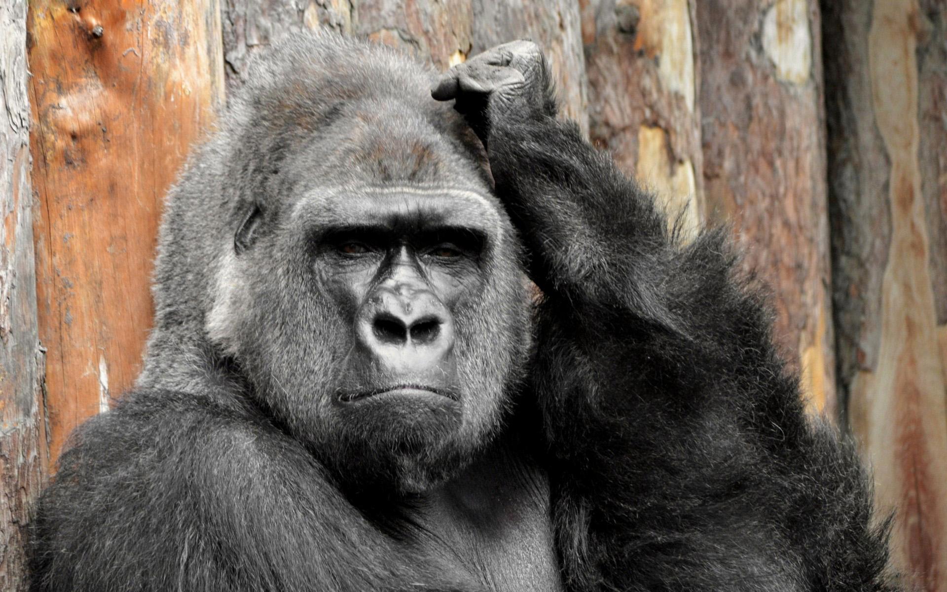 free gorilla wallpapers, gorilla pics