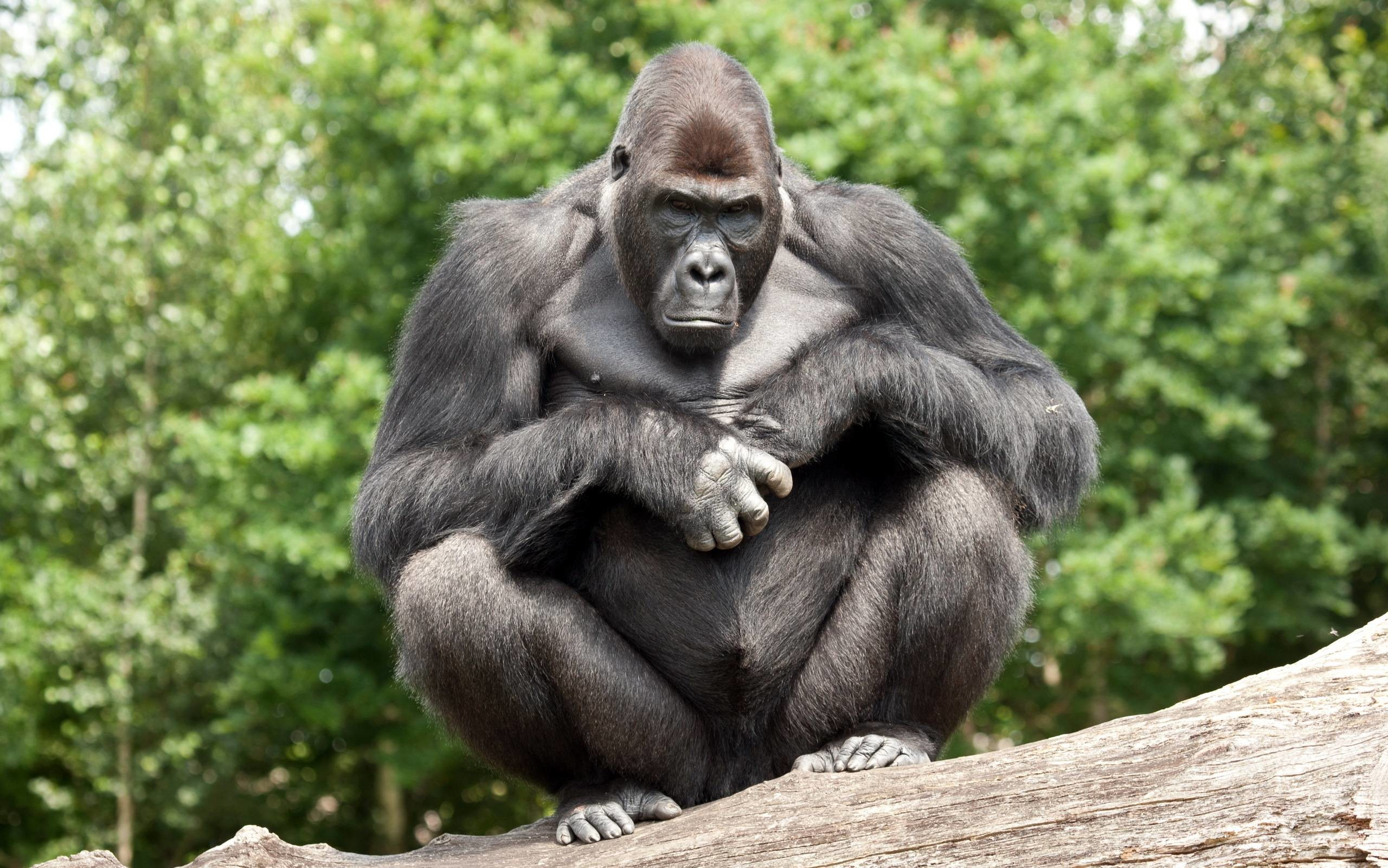 gorilla wallpapers free, funny gorilla