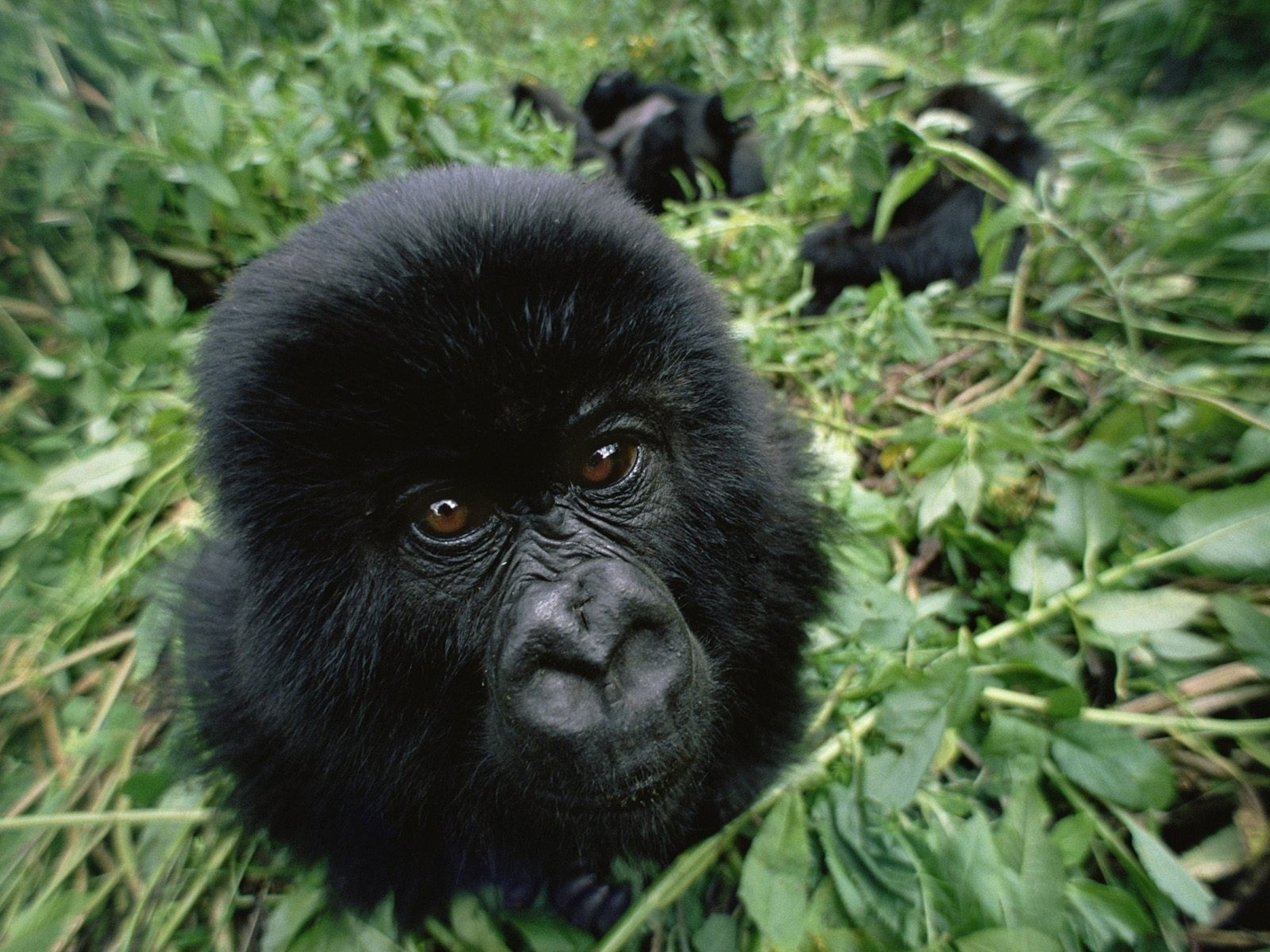 gorilla images, gorilla meaning