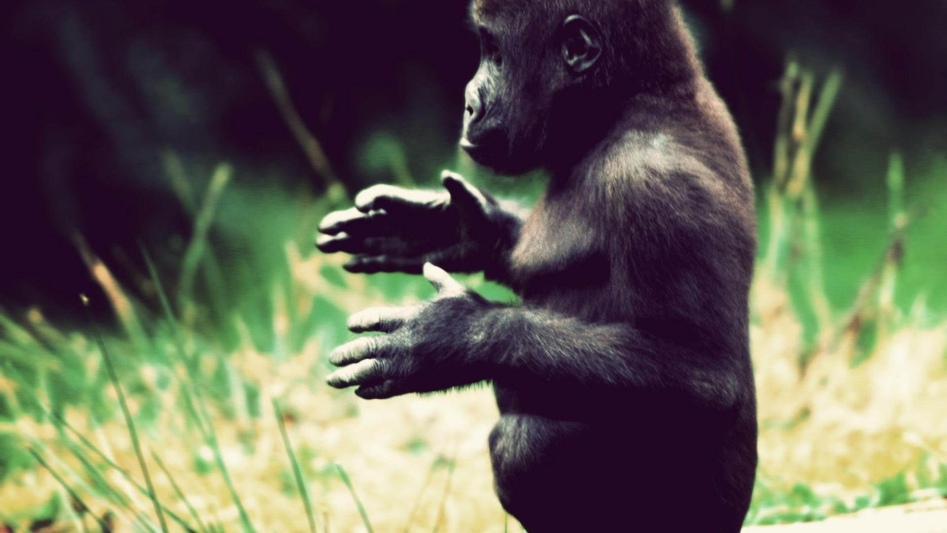 gorilla pic, gorillas