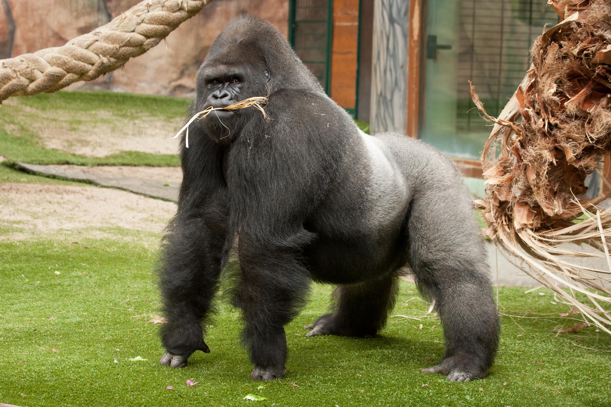image of gorilla, gorilla vs gorilla