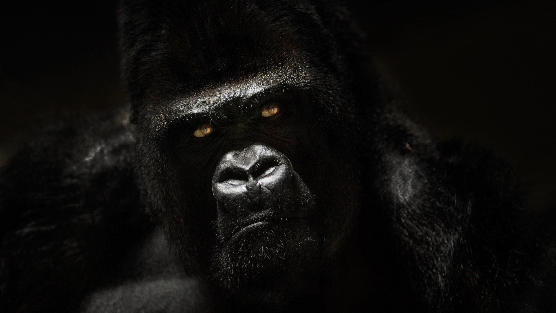 gorilla pics, gorilla silverback