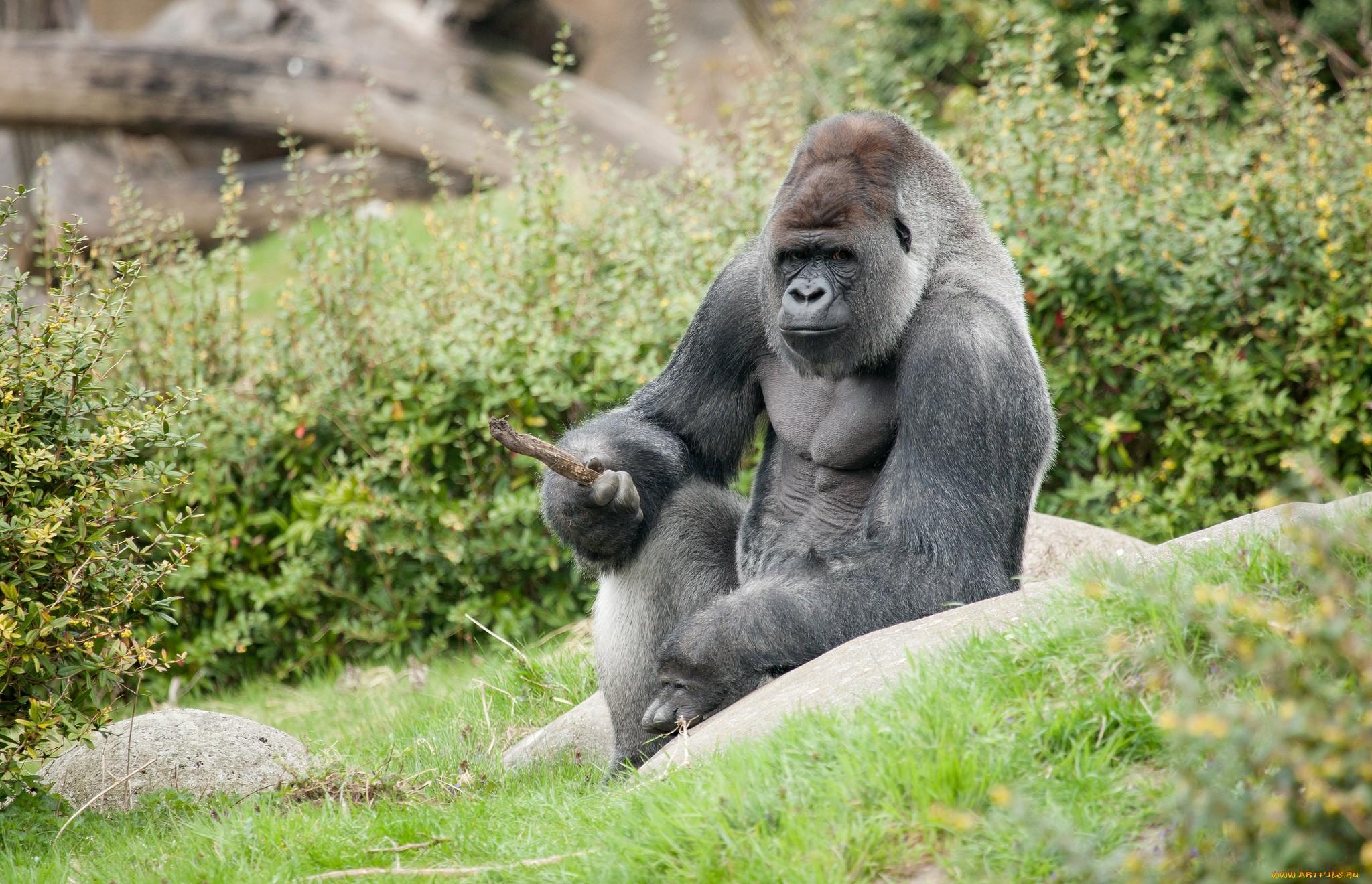 black gorilla, hi baby pictures