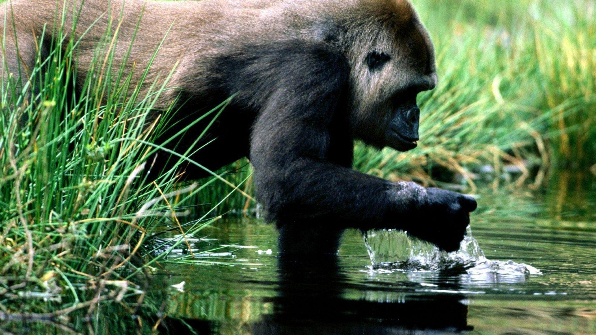 gorilla image, gorilla pictures