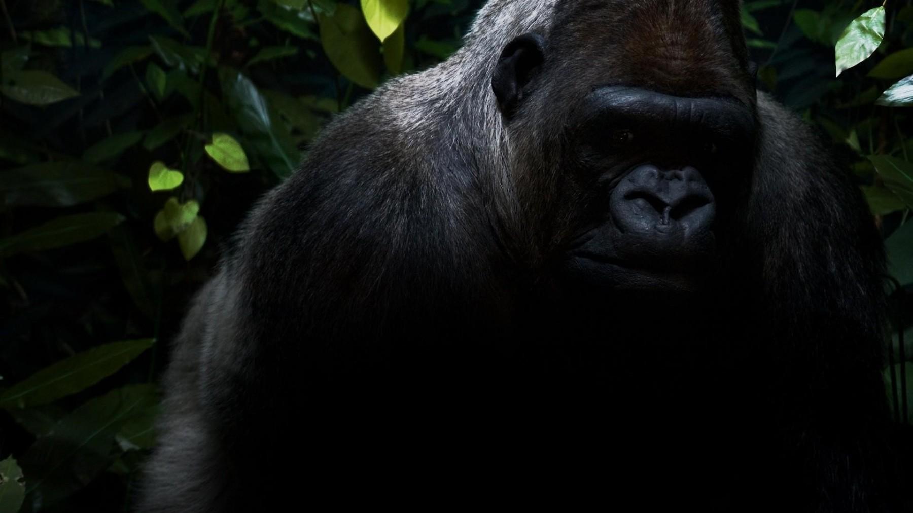 gorilla pic, gorilla eating