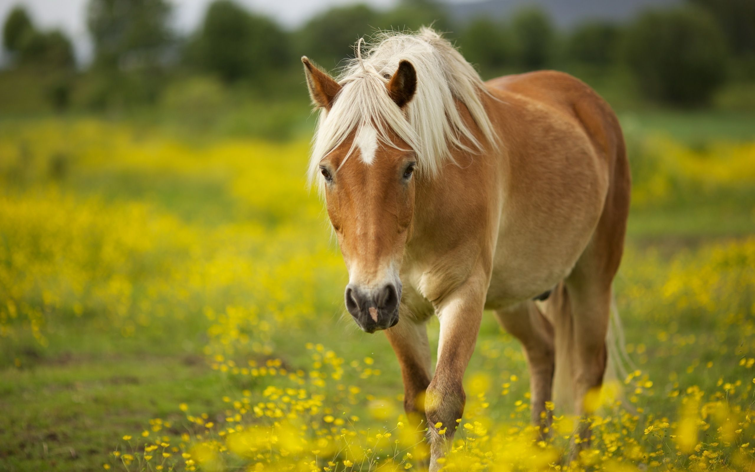 wallpapers of horses