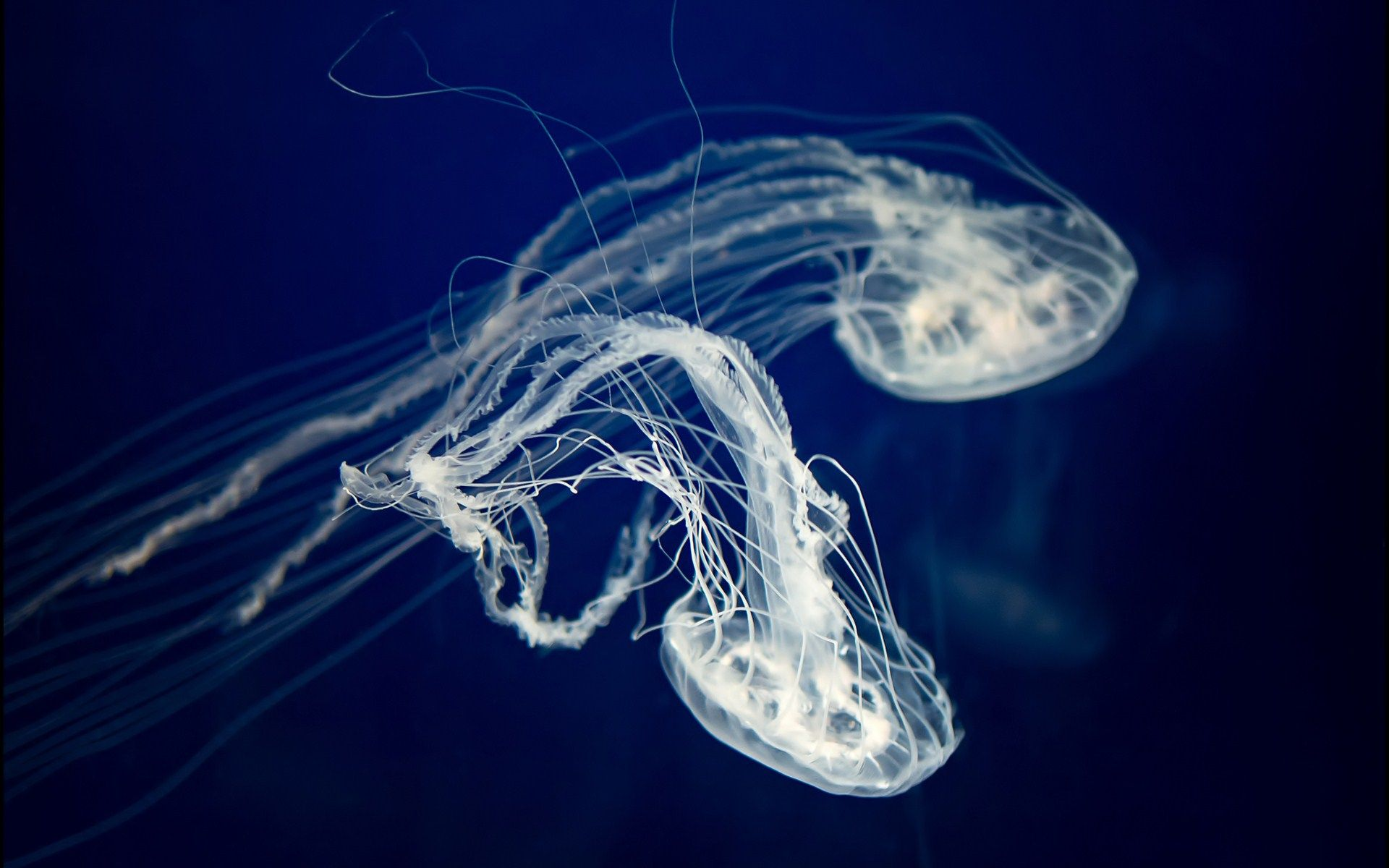 jellyfish desktop wallpaper