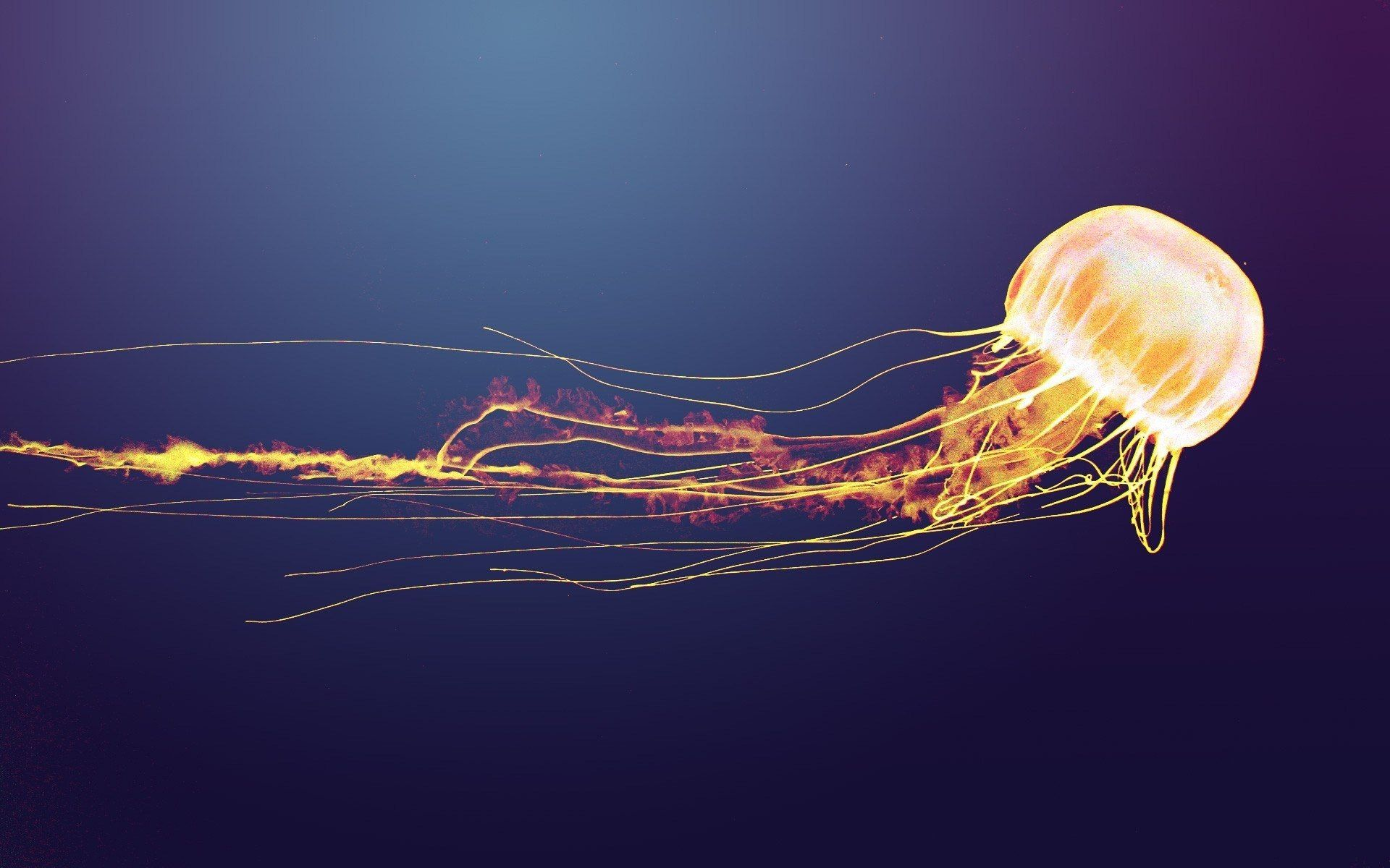 jellyfish desktop background