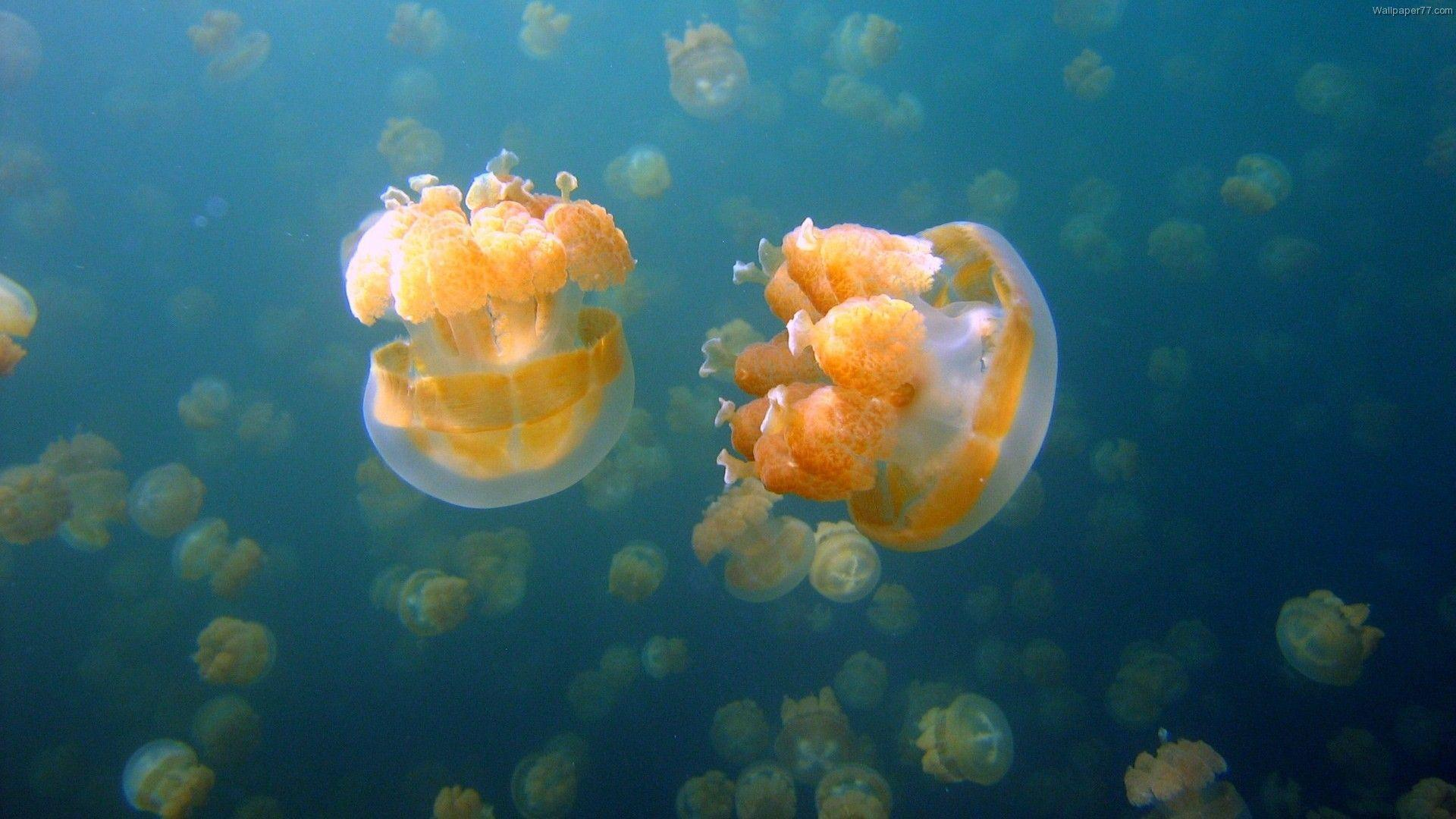 pictures of jelly fish