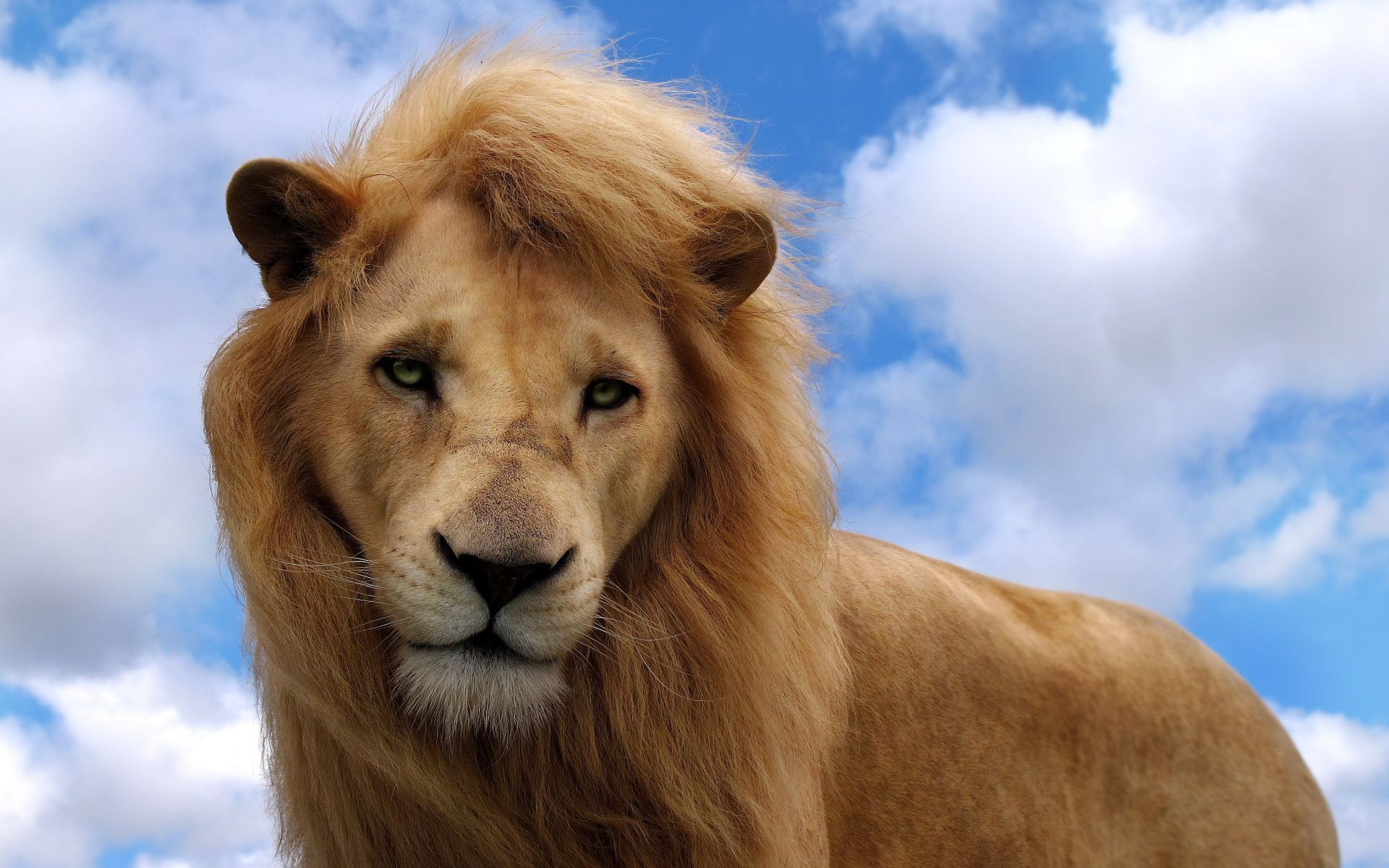 lion hd photo