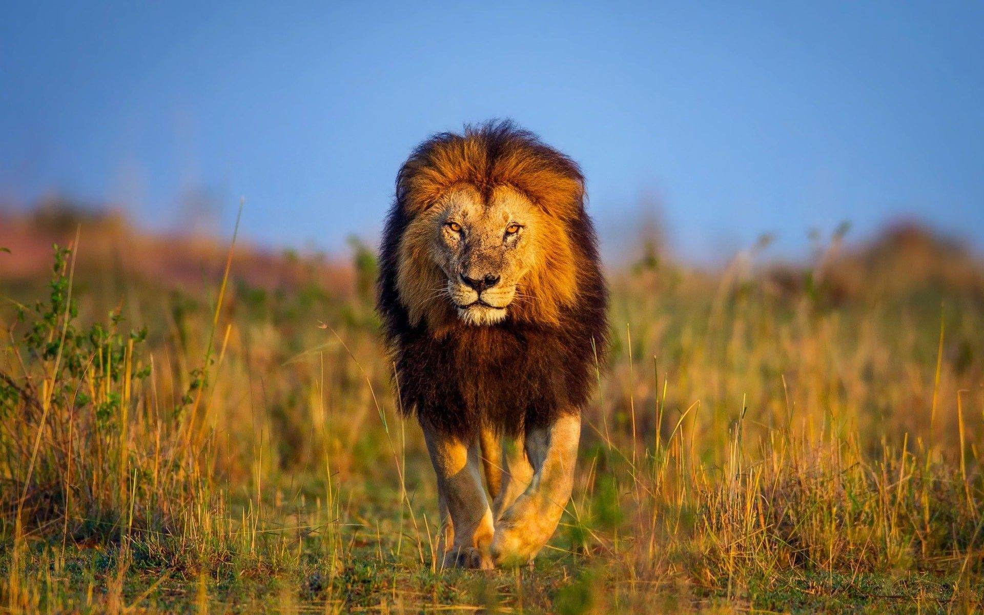 www lion images