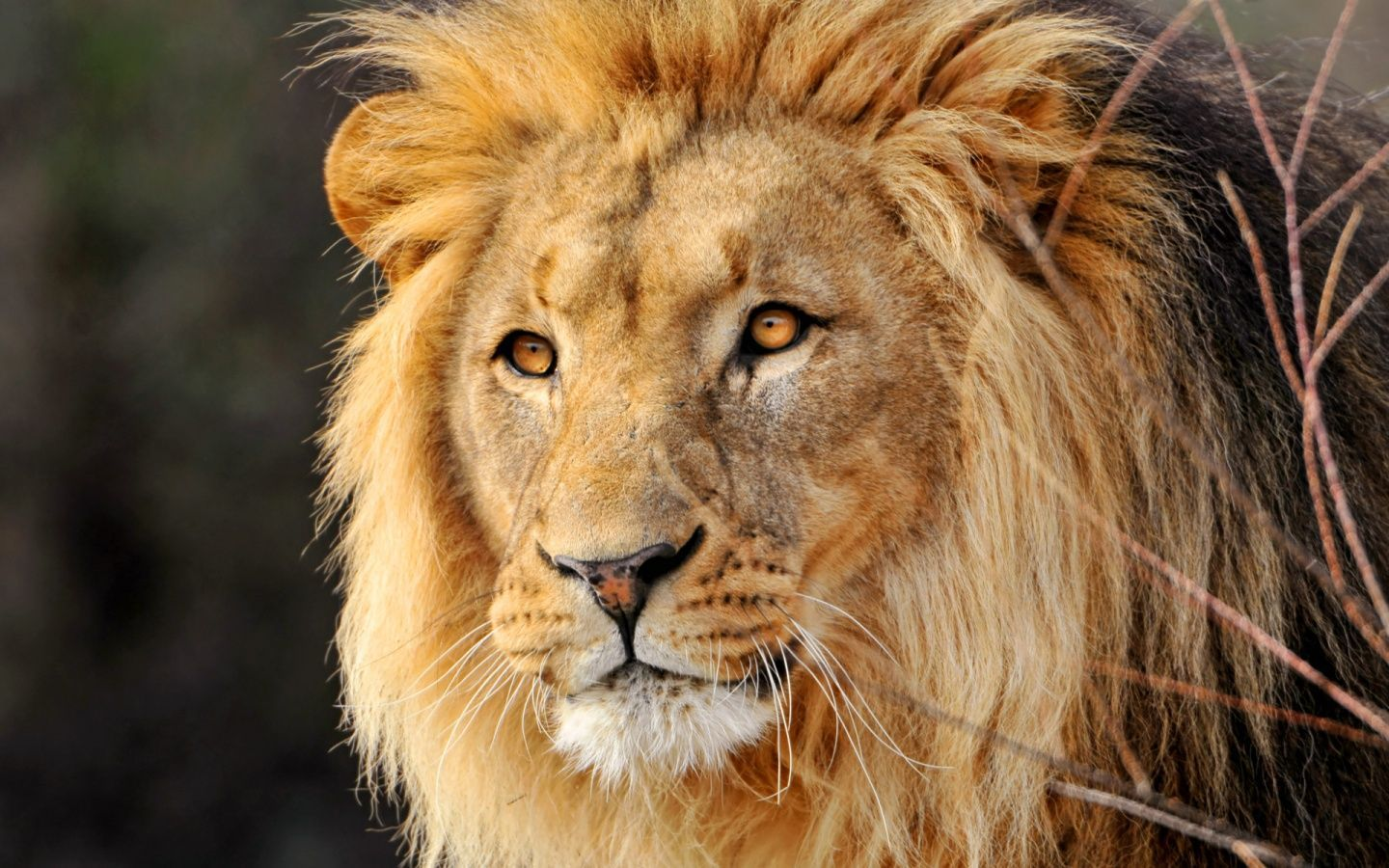 lion pic hd