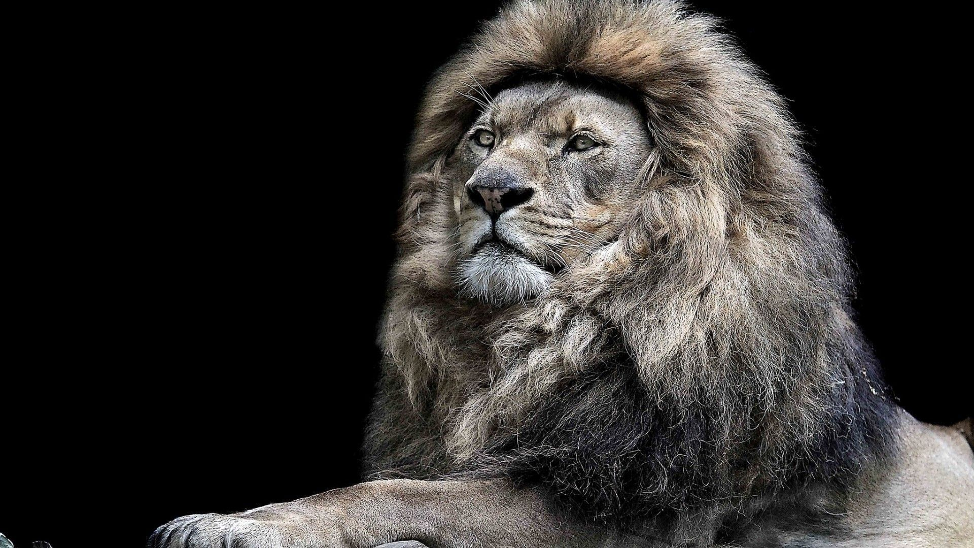 lion photo download