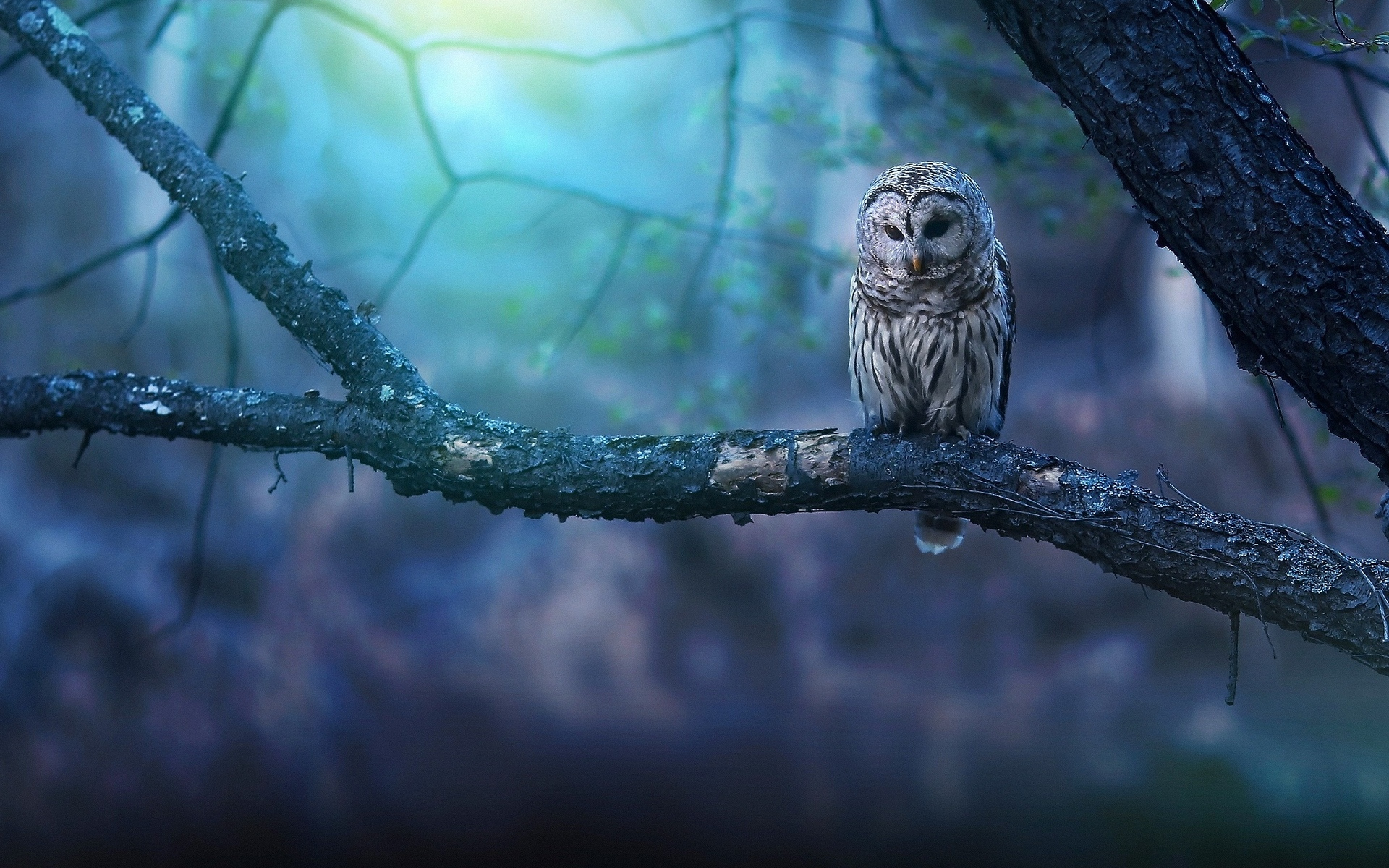 owl wallpaper