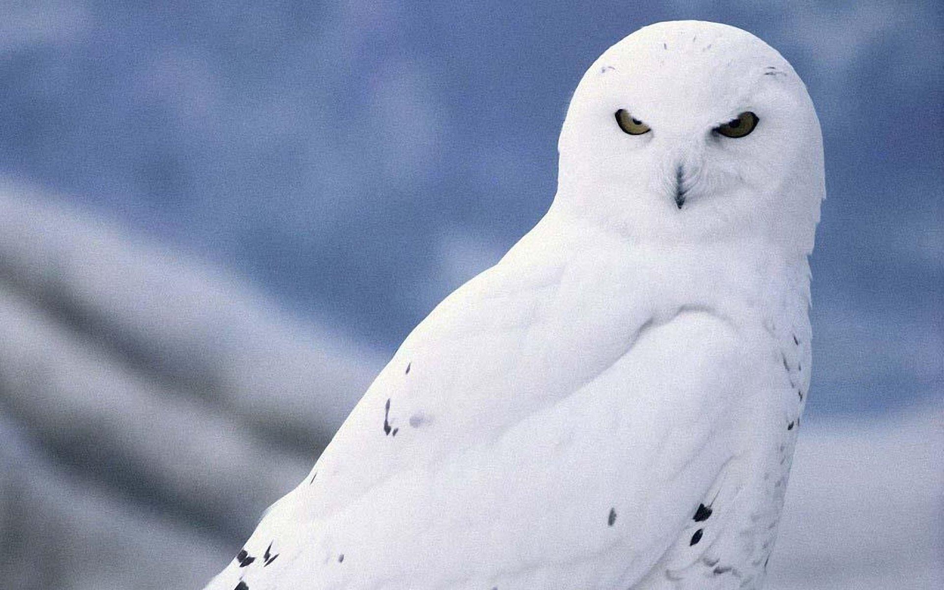 owl desktop backgrounds