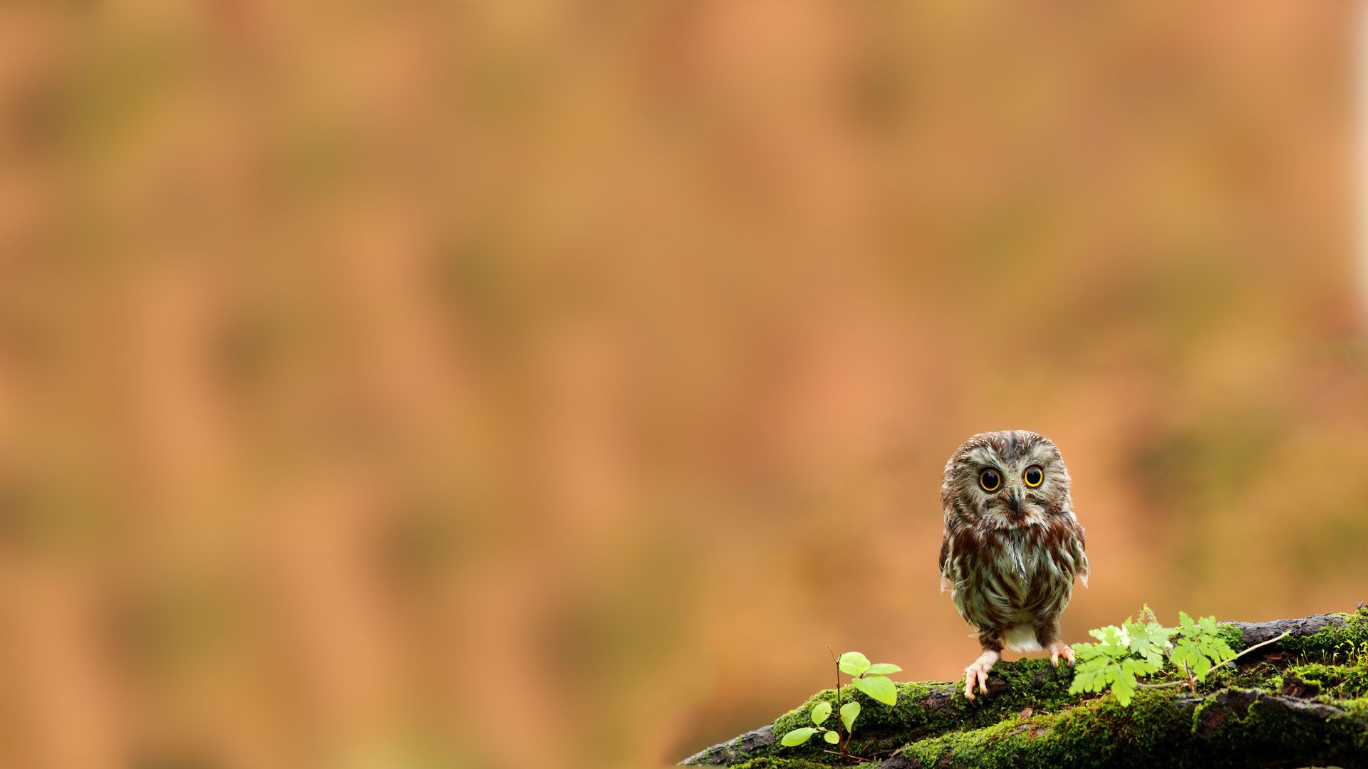 owl wallpaper hd