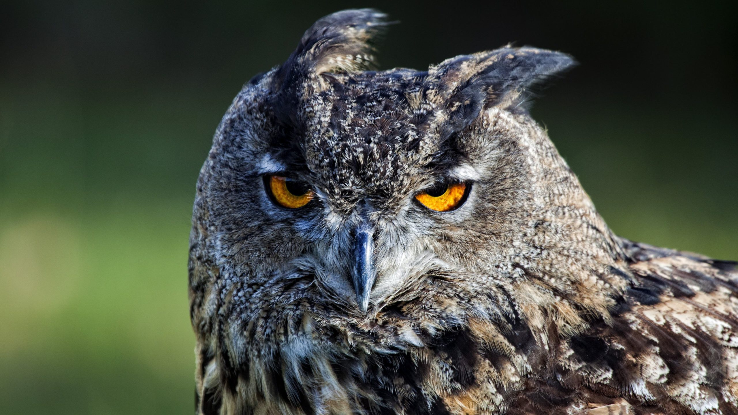 free owl pictures