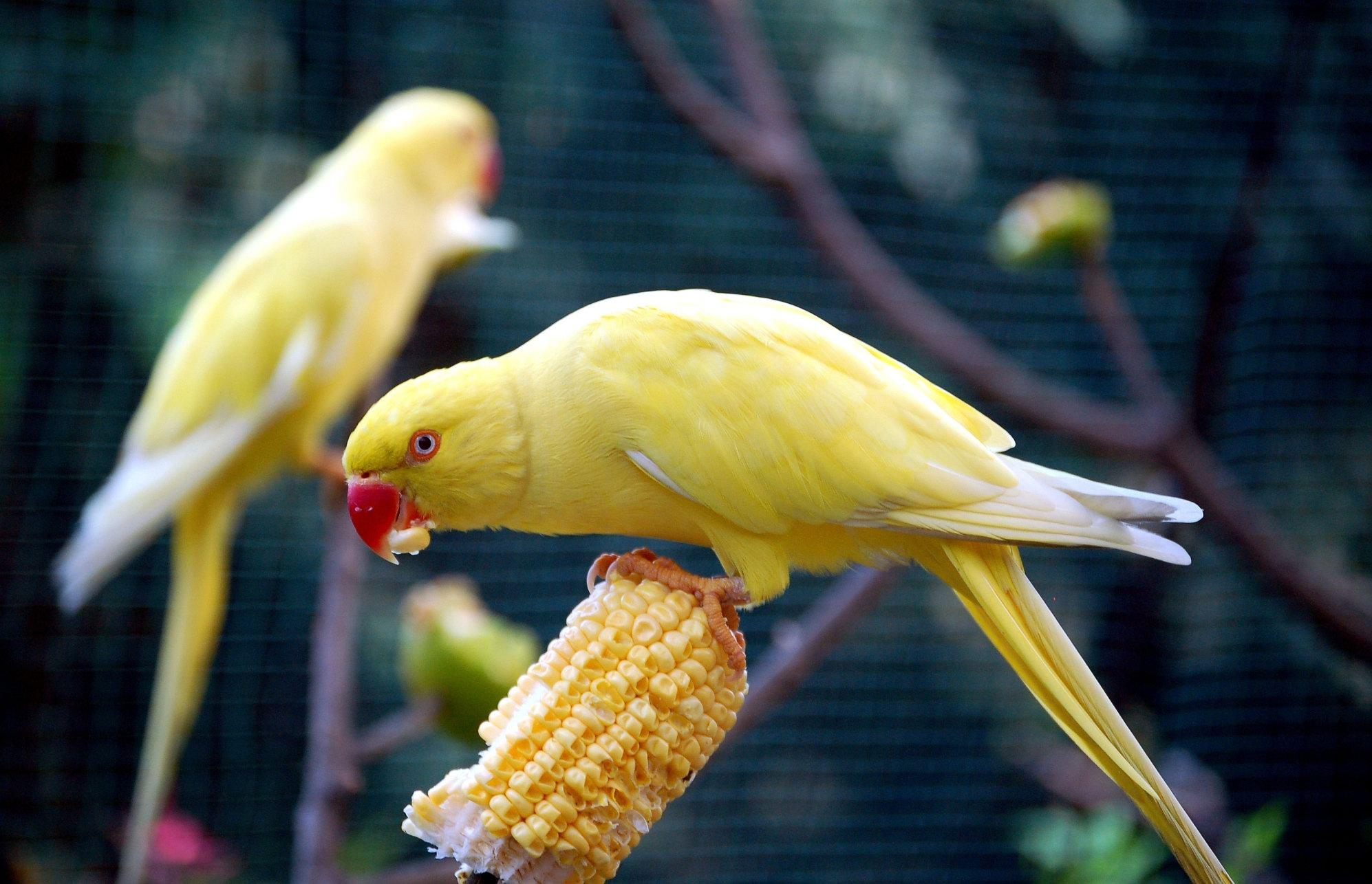parrot ka photo