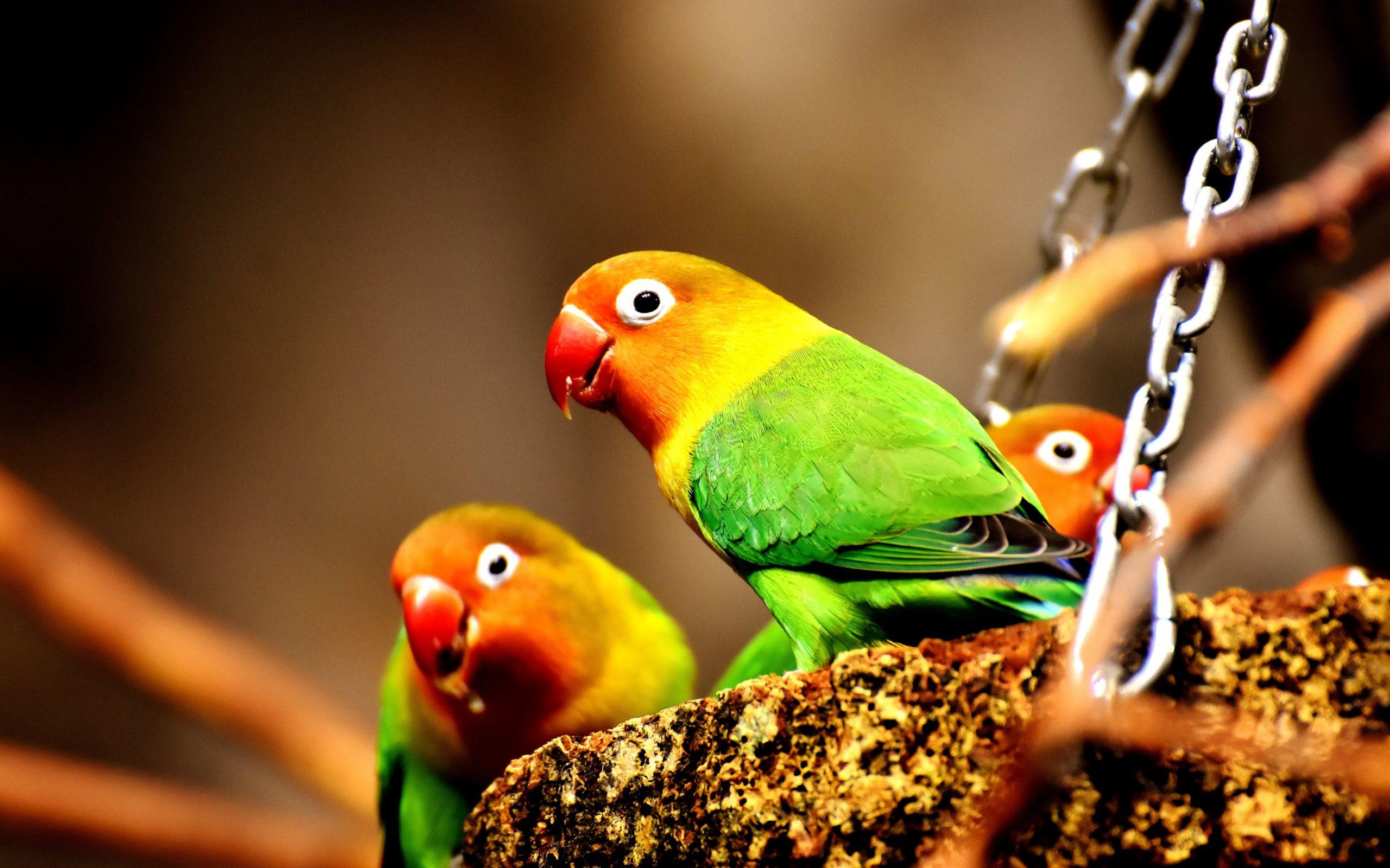 parrot birds images hd