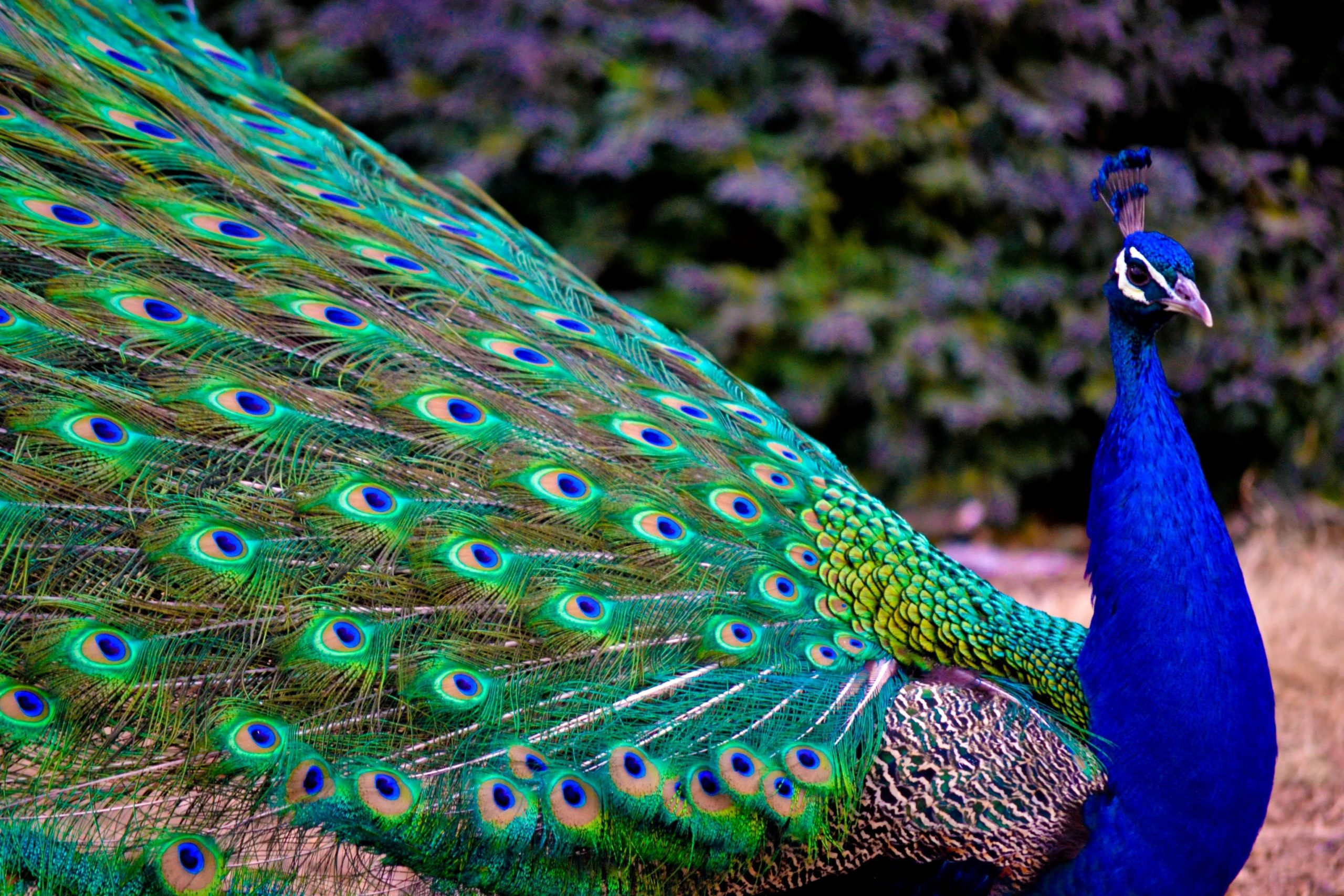 peacock images