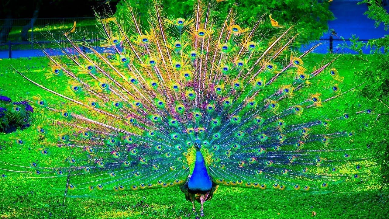 images peacock