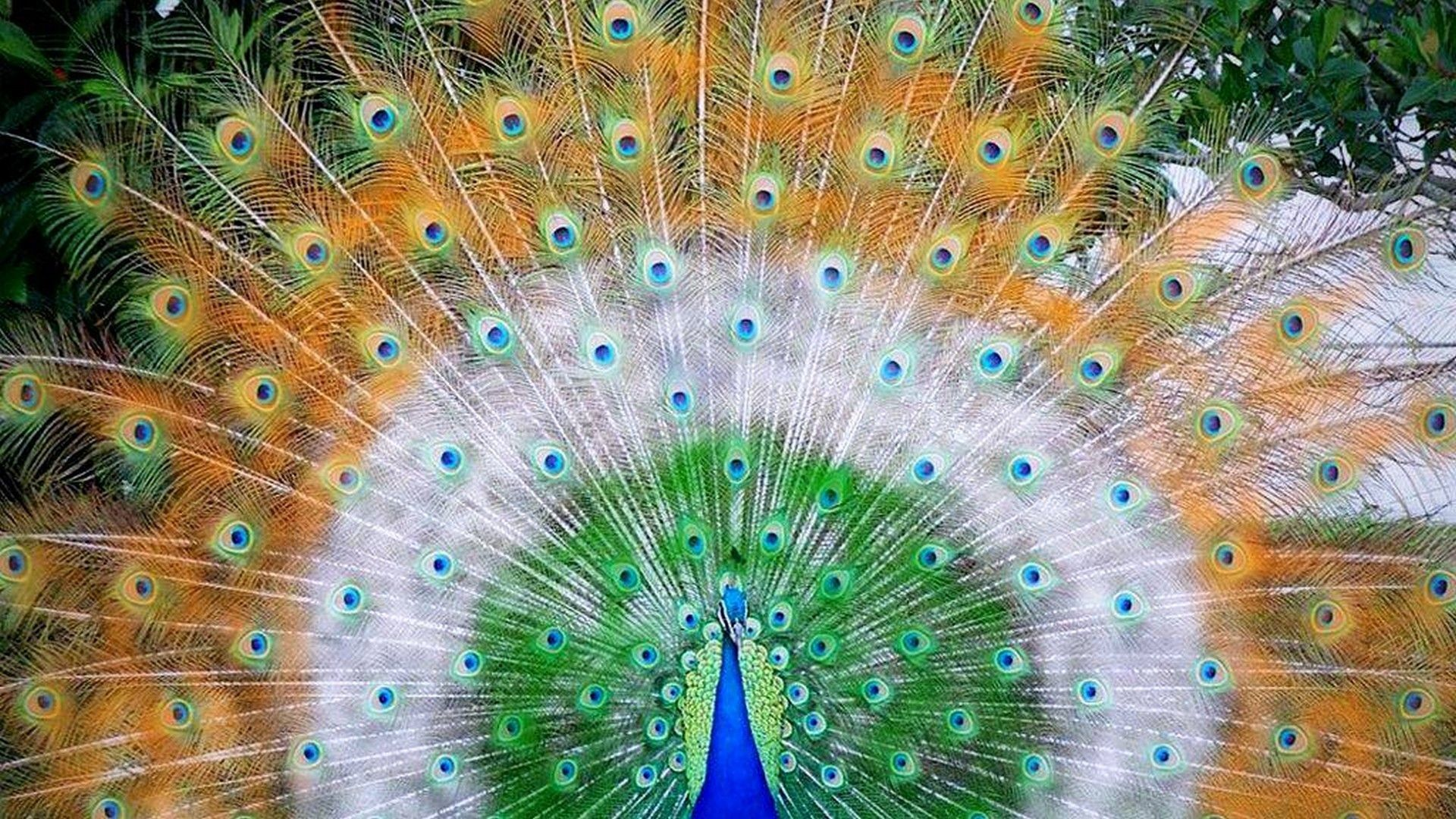 pictures of peacocks