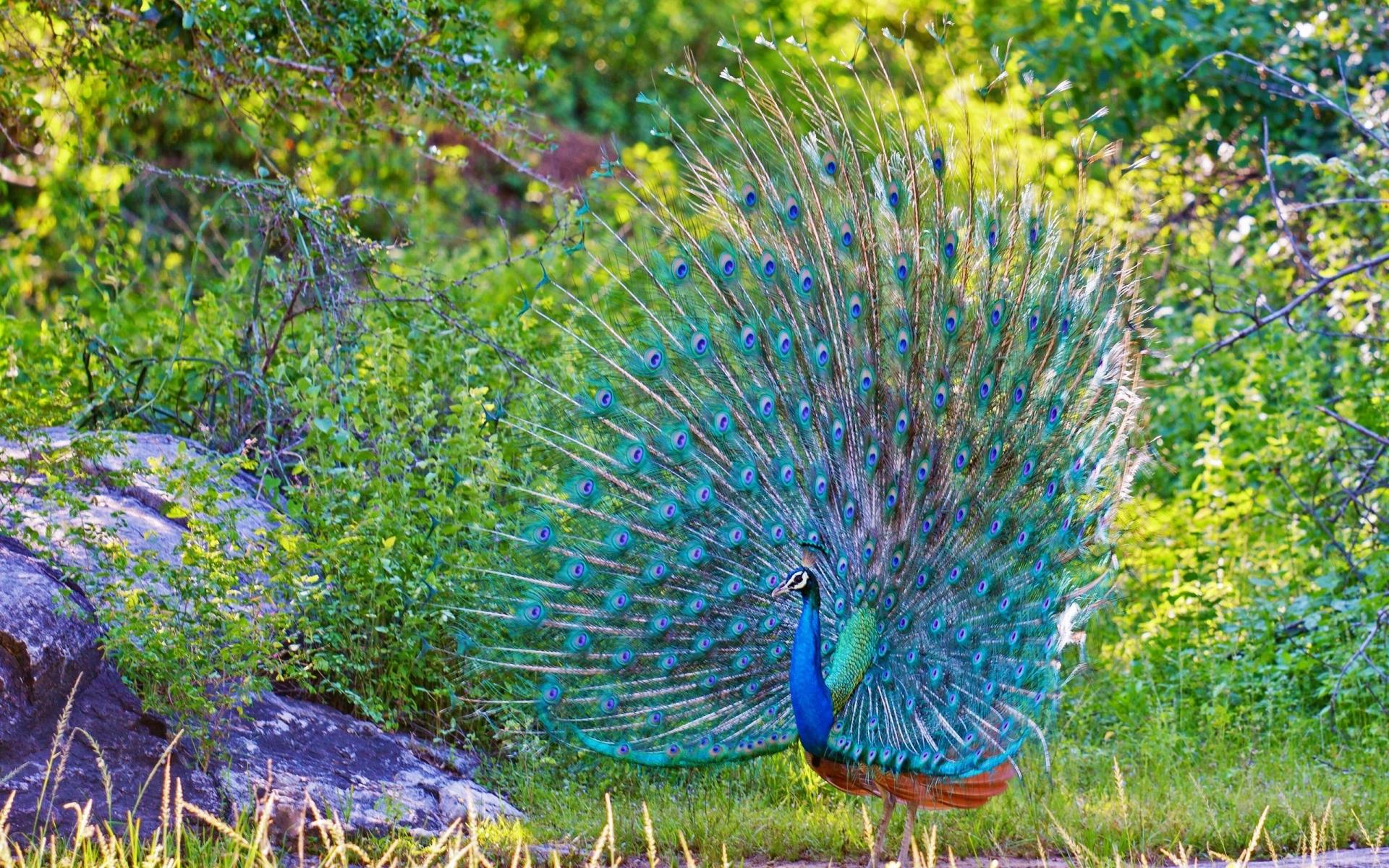 peacock hd images