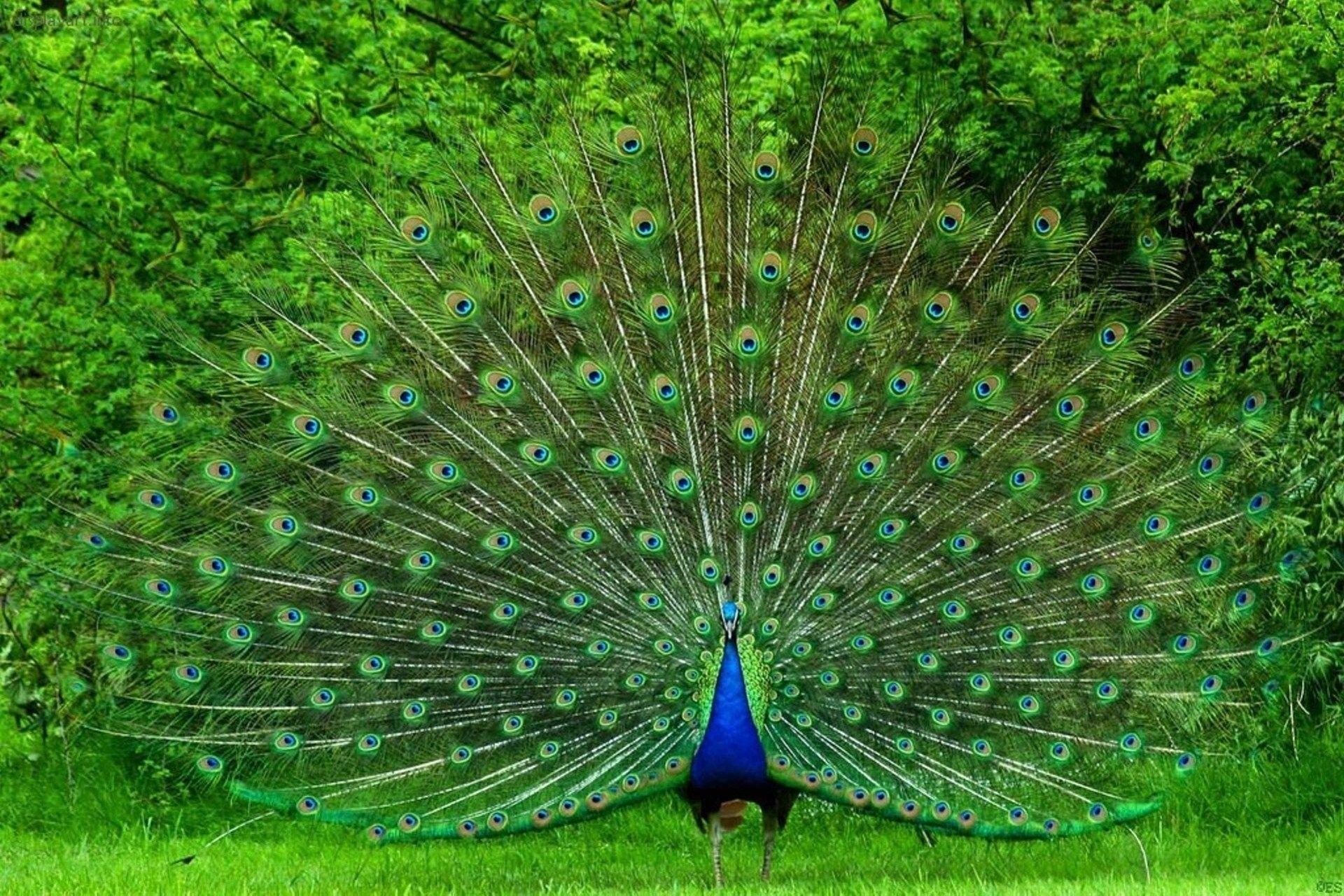 peacock photos