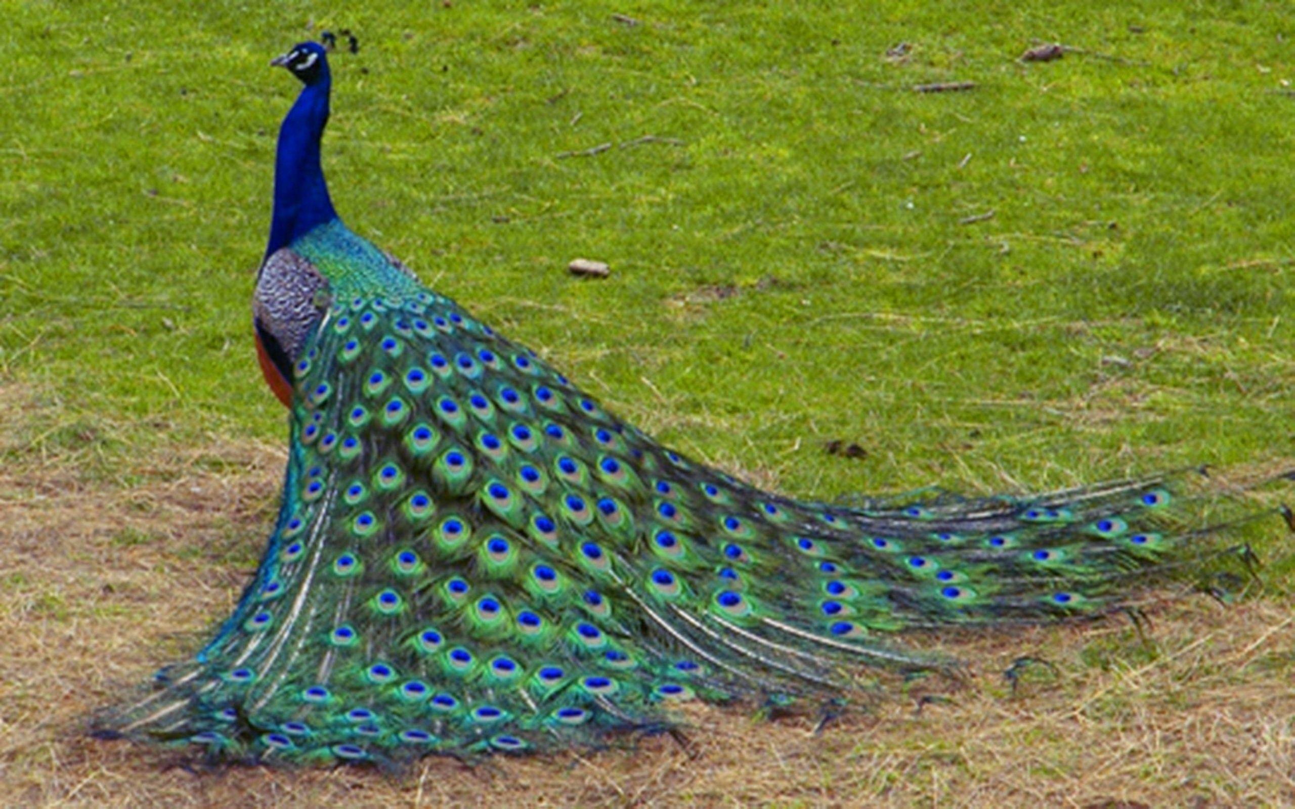 peacock hd wallpapers 1080p