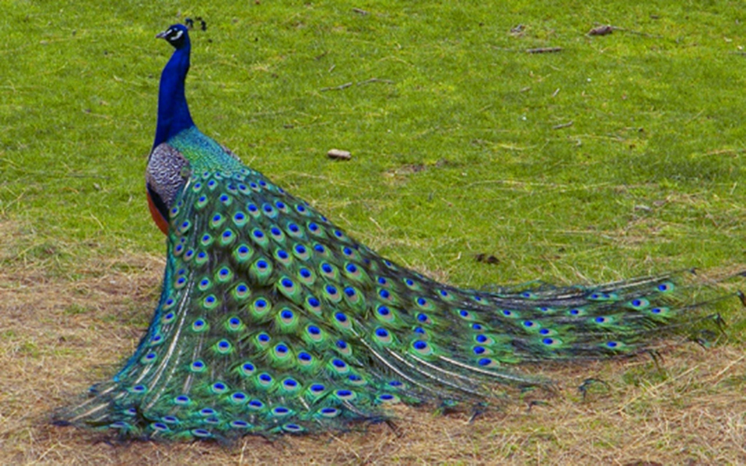 peacock images free download