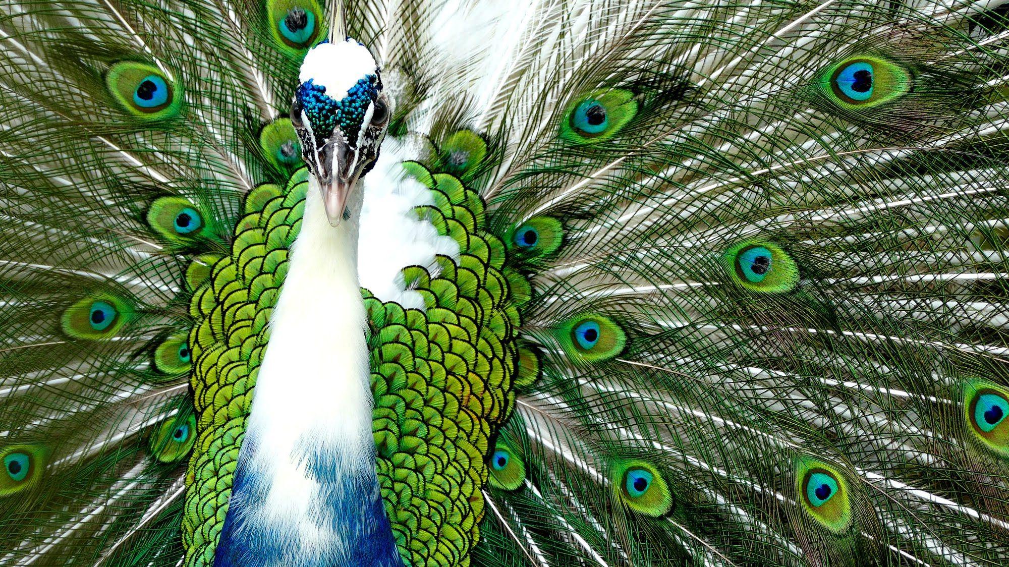 hd peacock