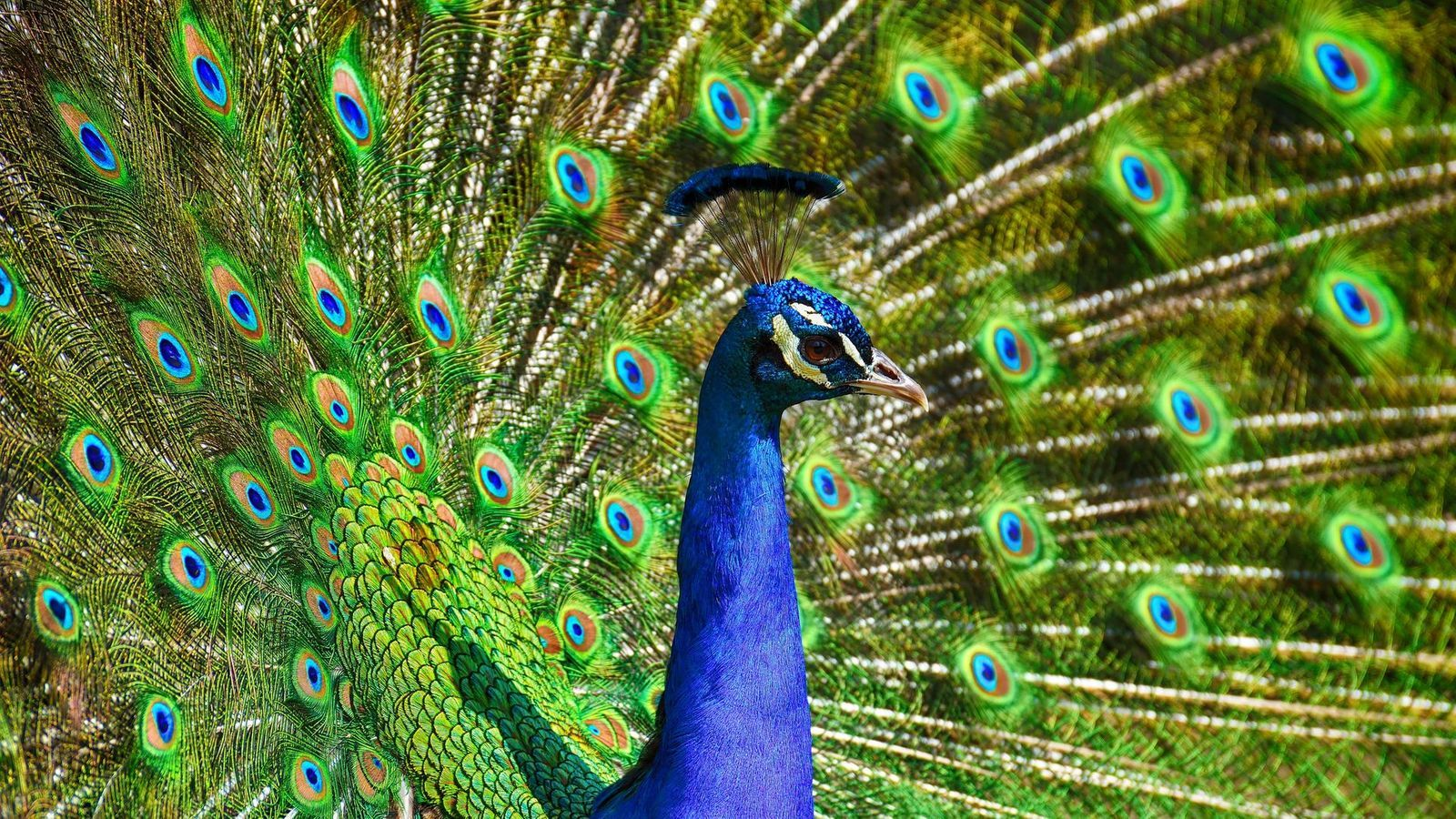 images of peacocks hd