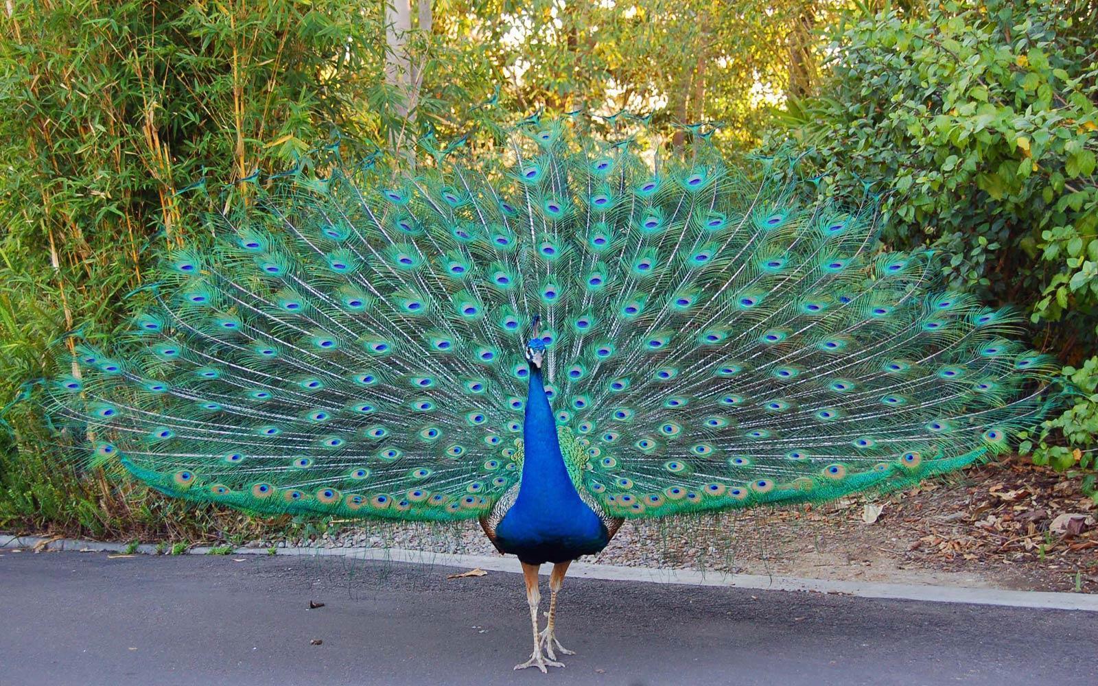peacock images hd wallpaper