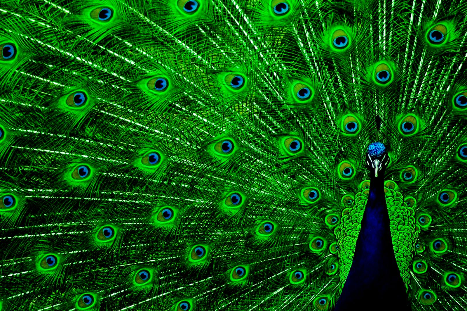 peacock backgrounds images