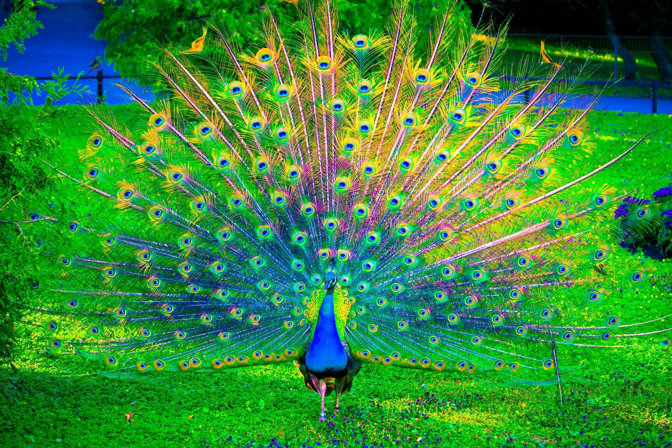 peacock photos download