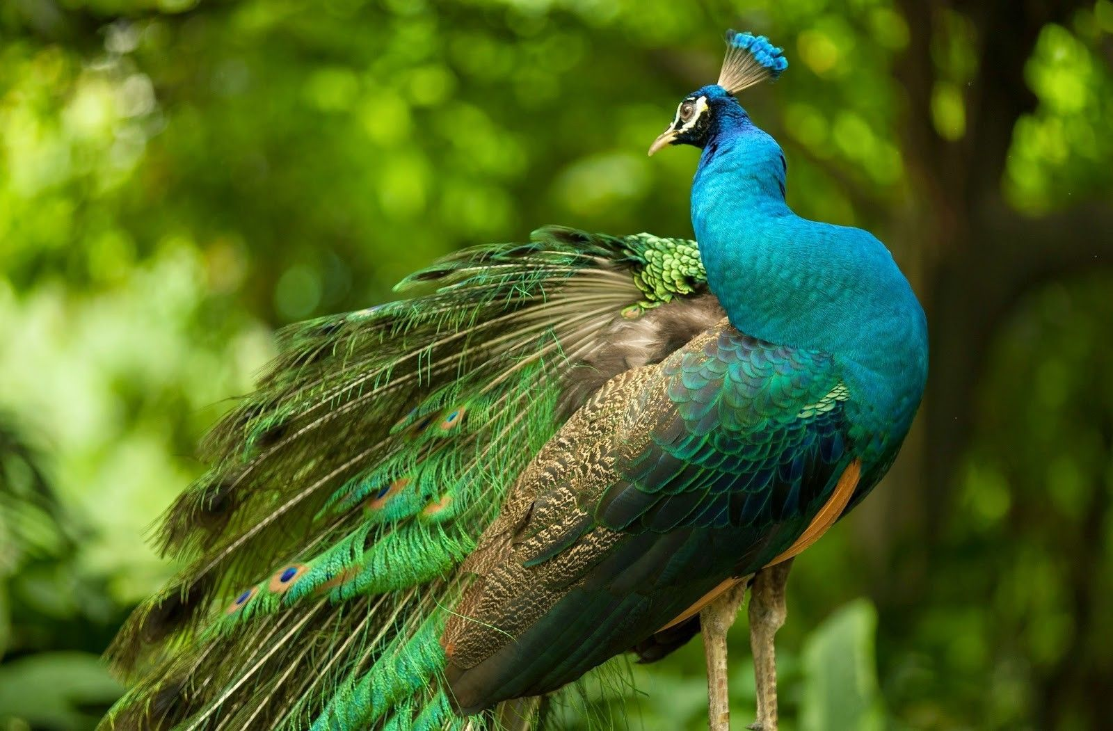 peacock photo gallery