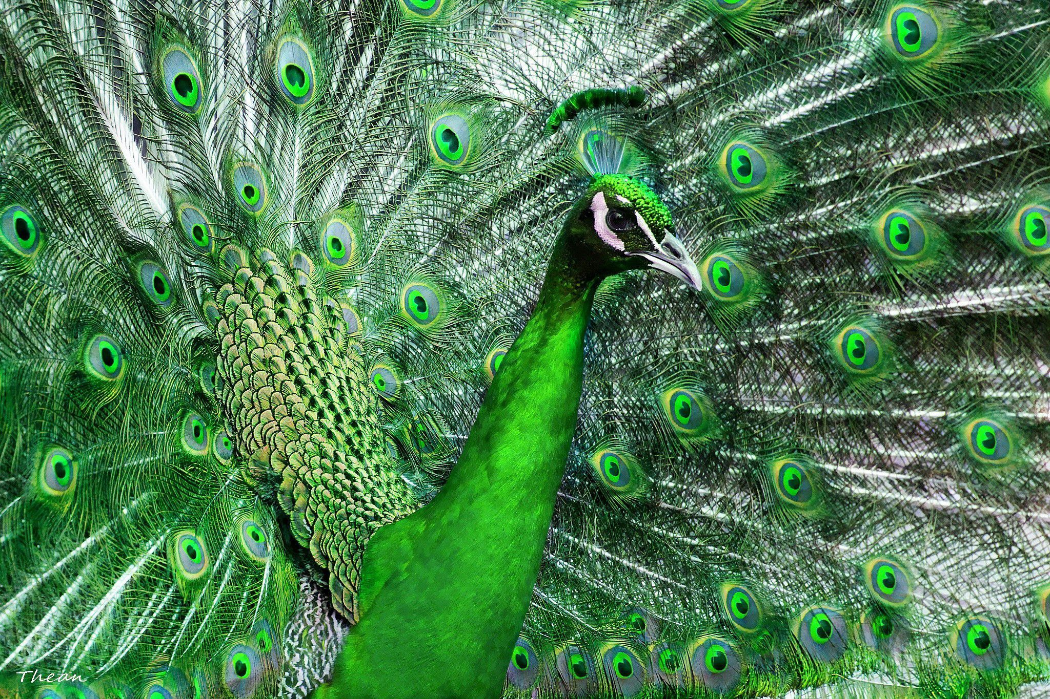 www.peacock images