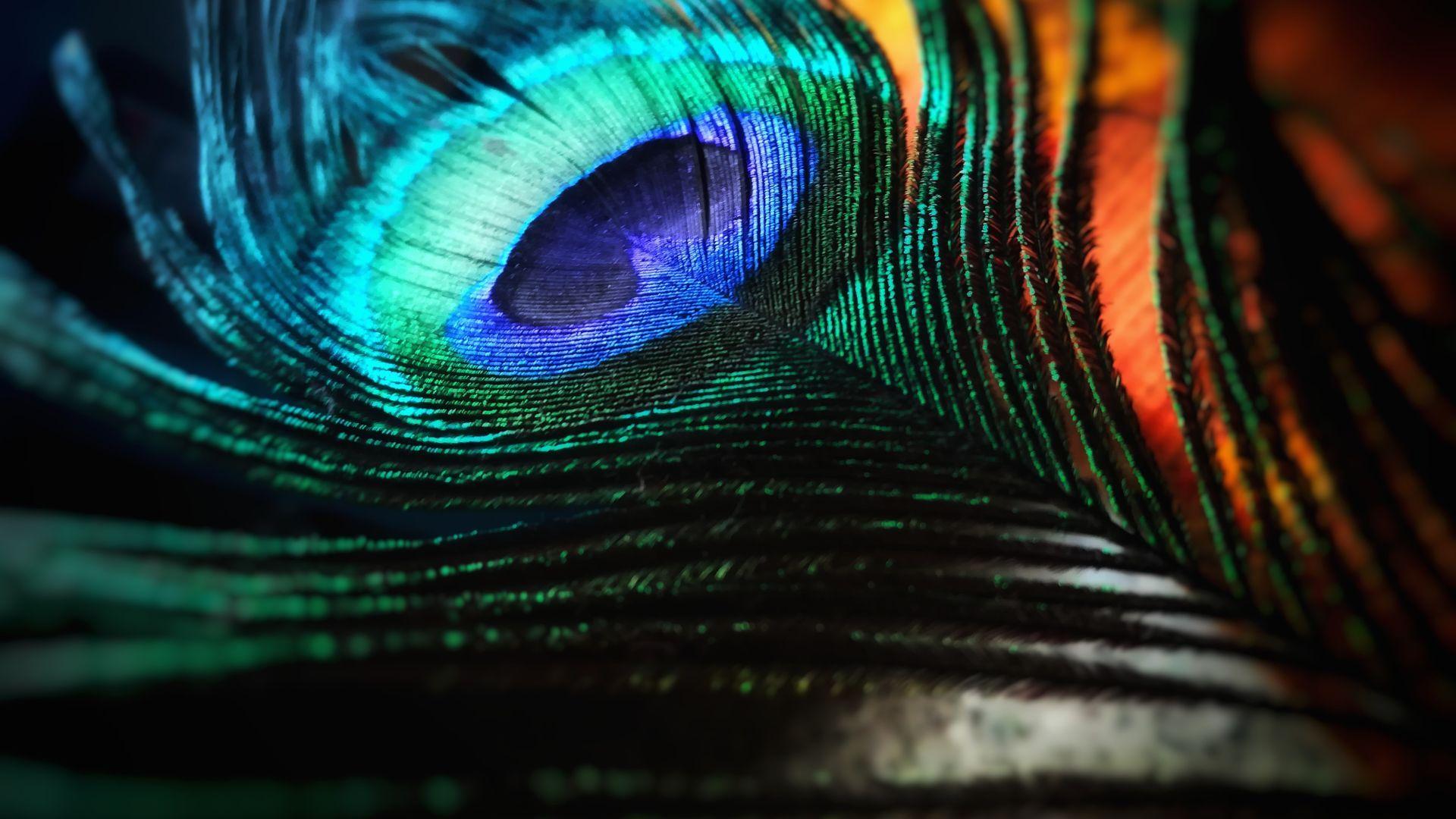 peacock bird images