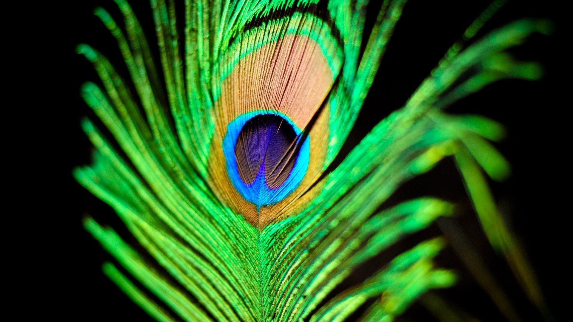 peacock feather wallpapers
