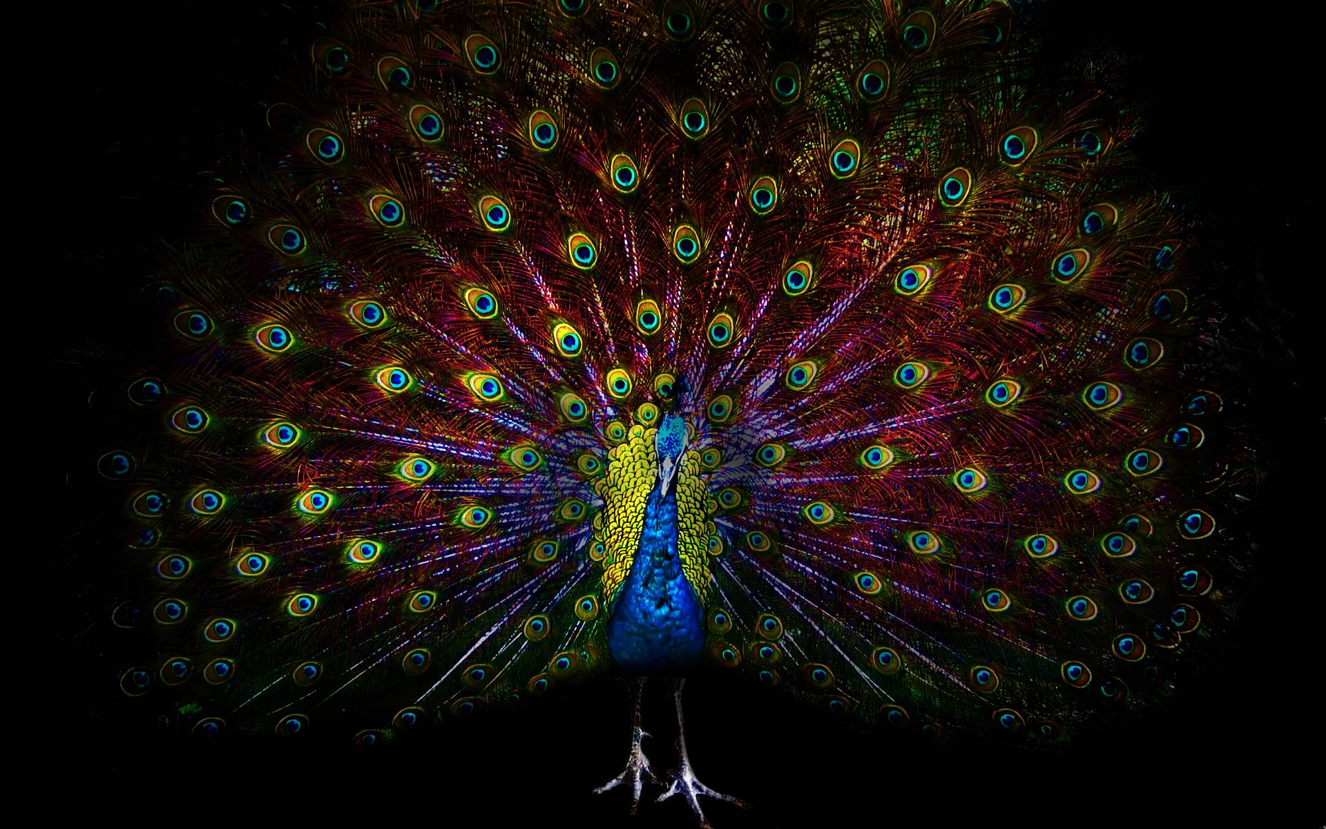 peacock background hd