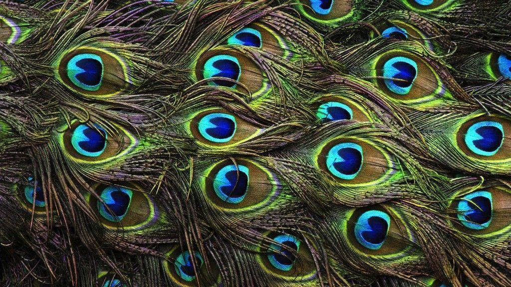 picture of peacock hd