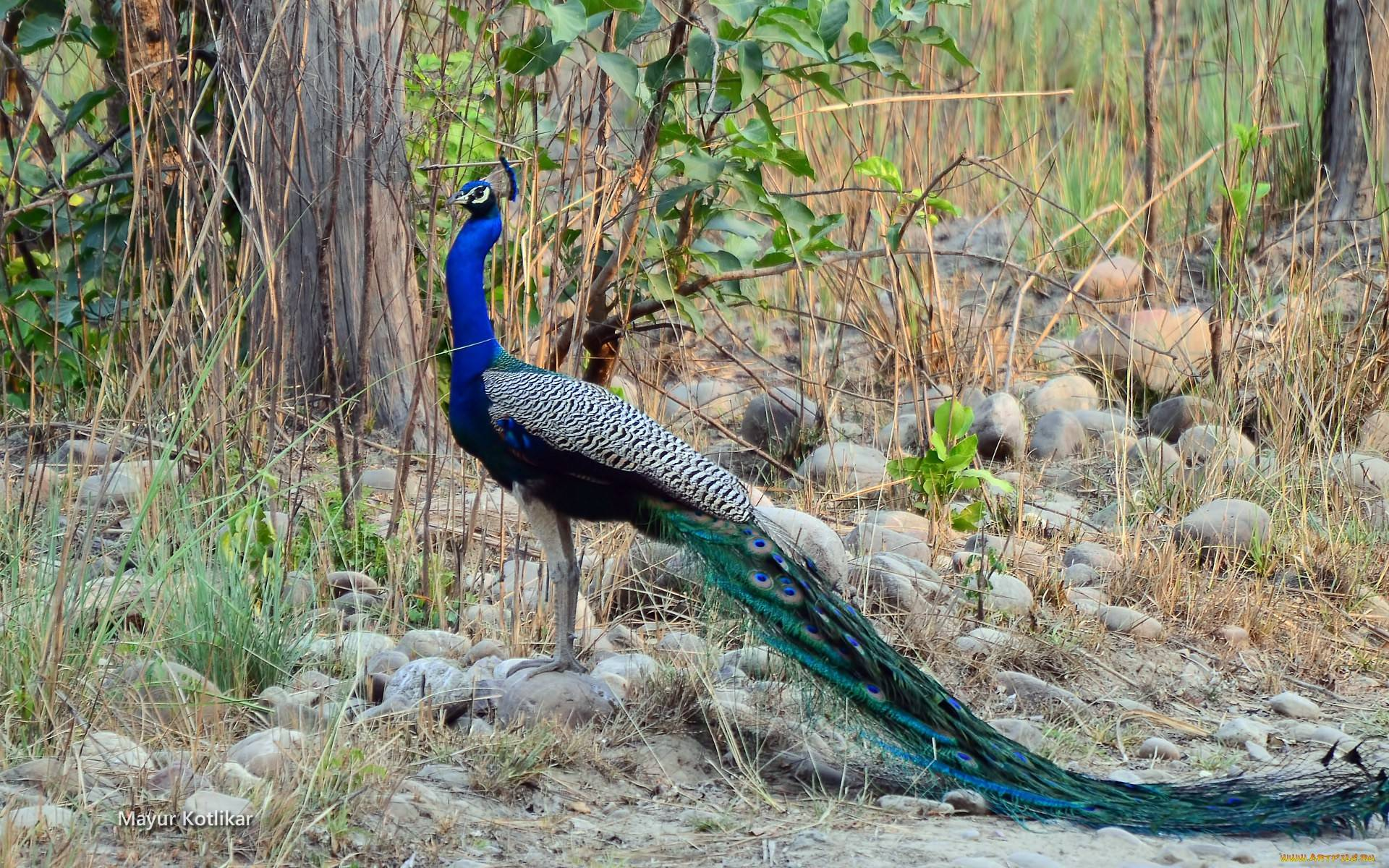 peacock pictures download