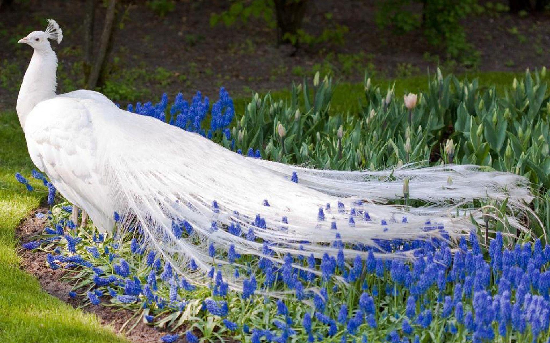 peacock screensaver images