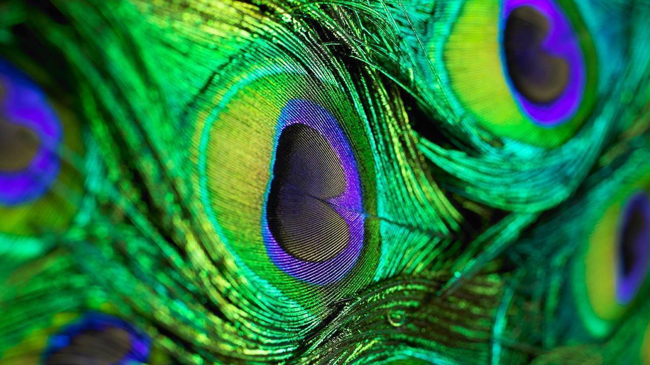 peacock photos free