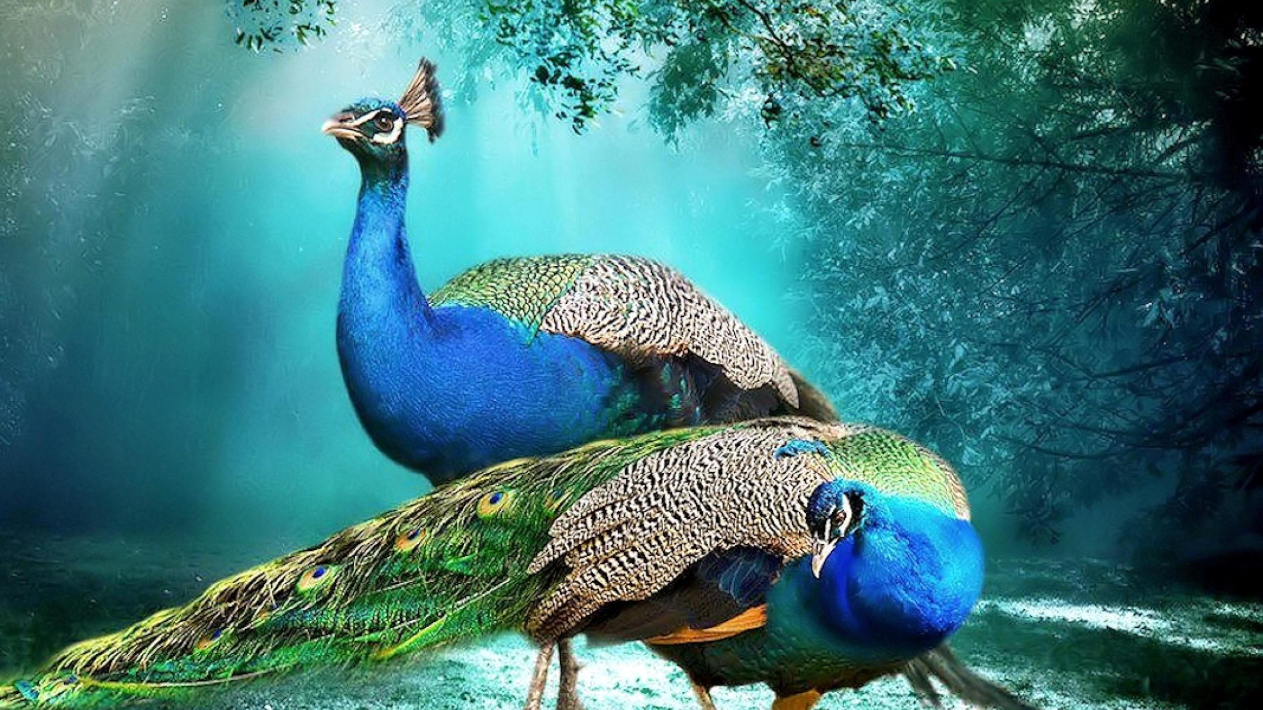 hd images of peacock