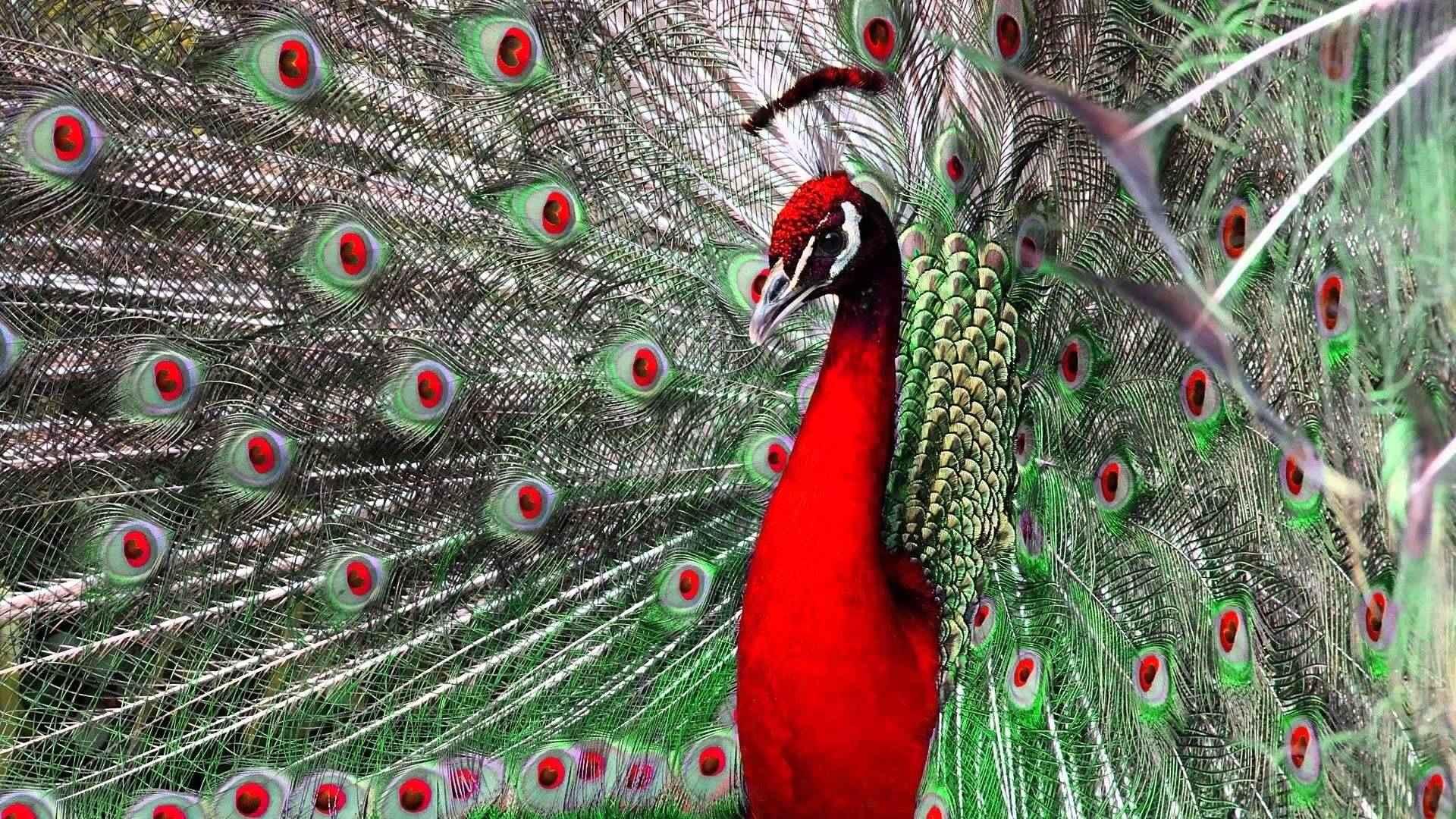 beautiful peacock images hd