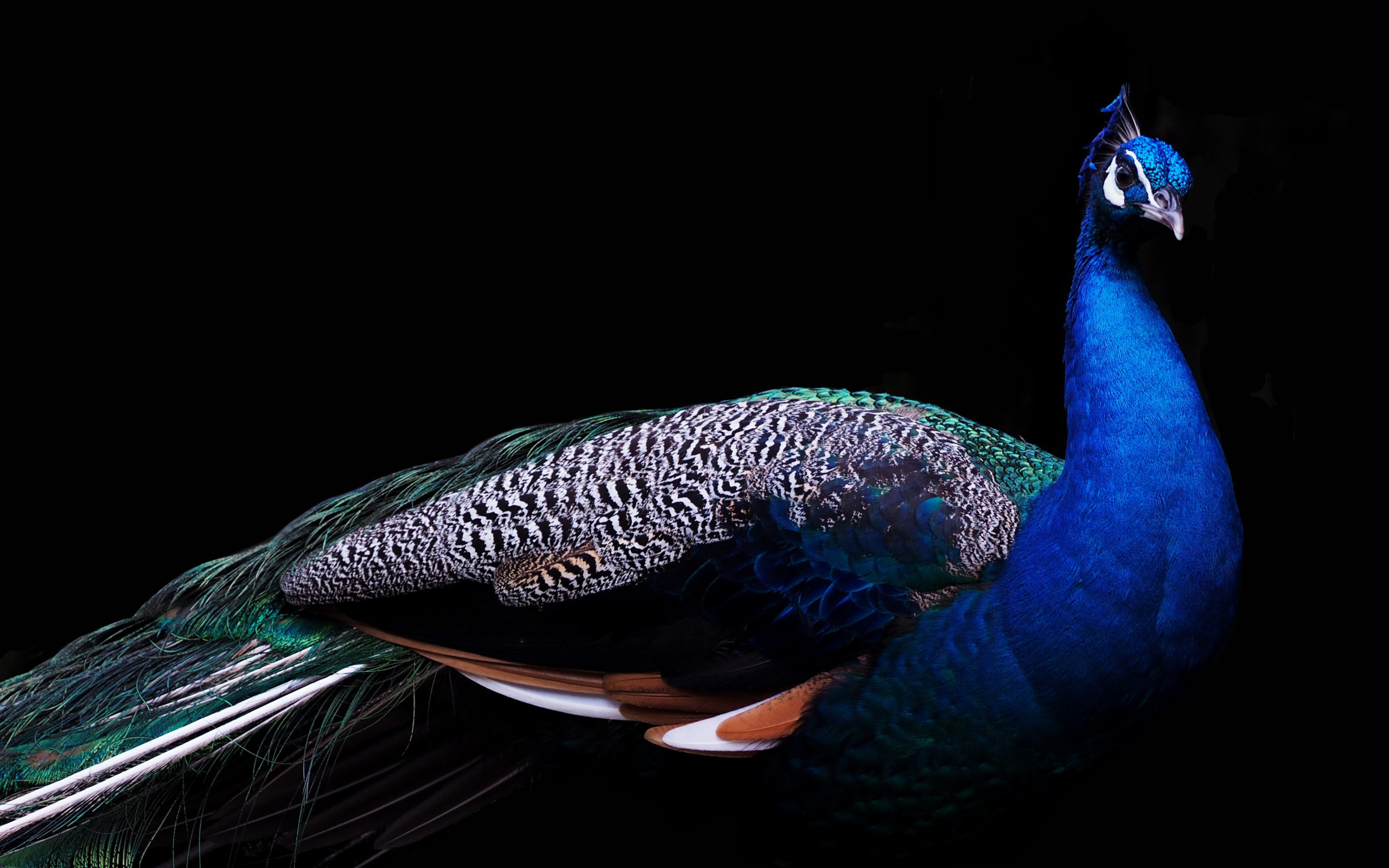 download peacock images