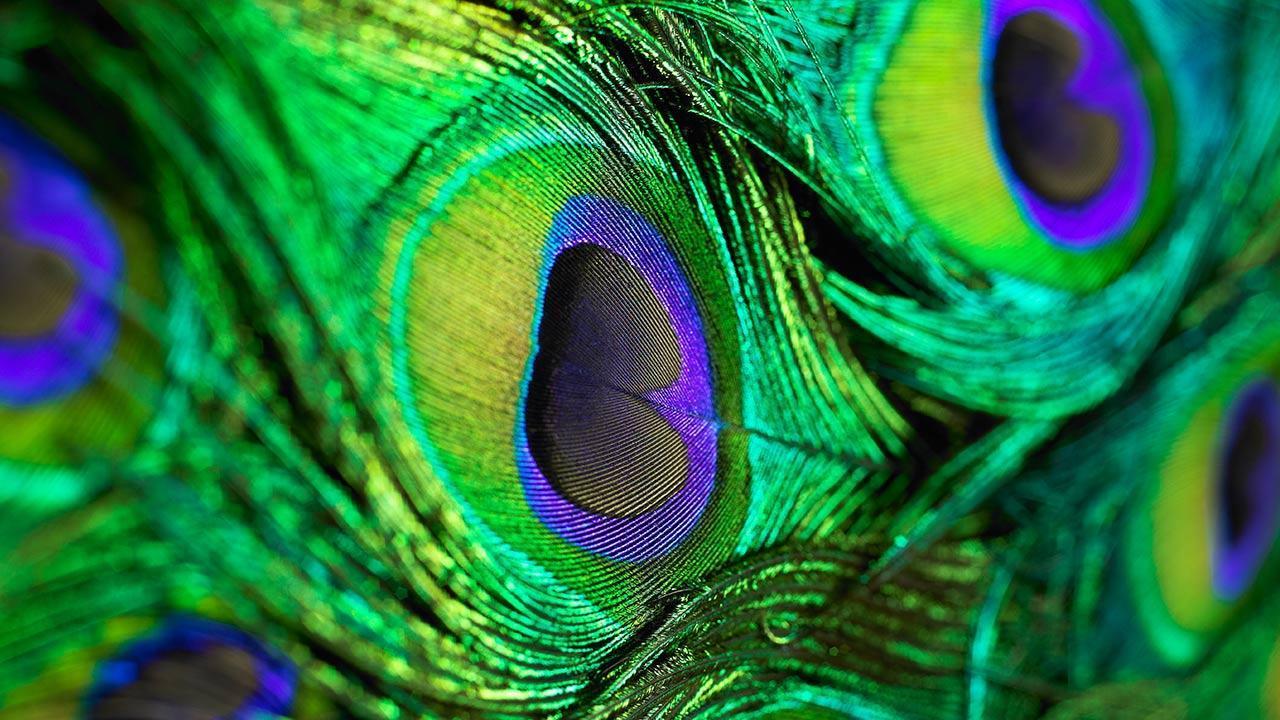peacock hd wallpaper download