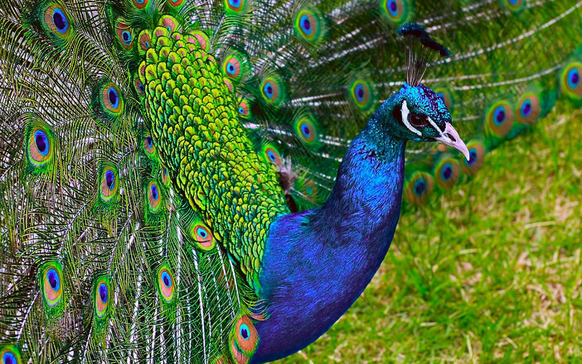 hd wallpapers of peacock